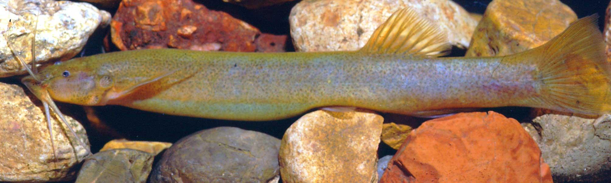 Nueva especie de pez gato en aguas del río Tetuán