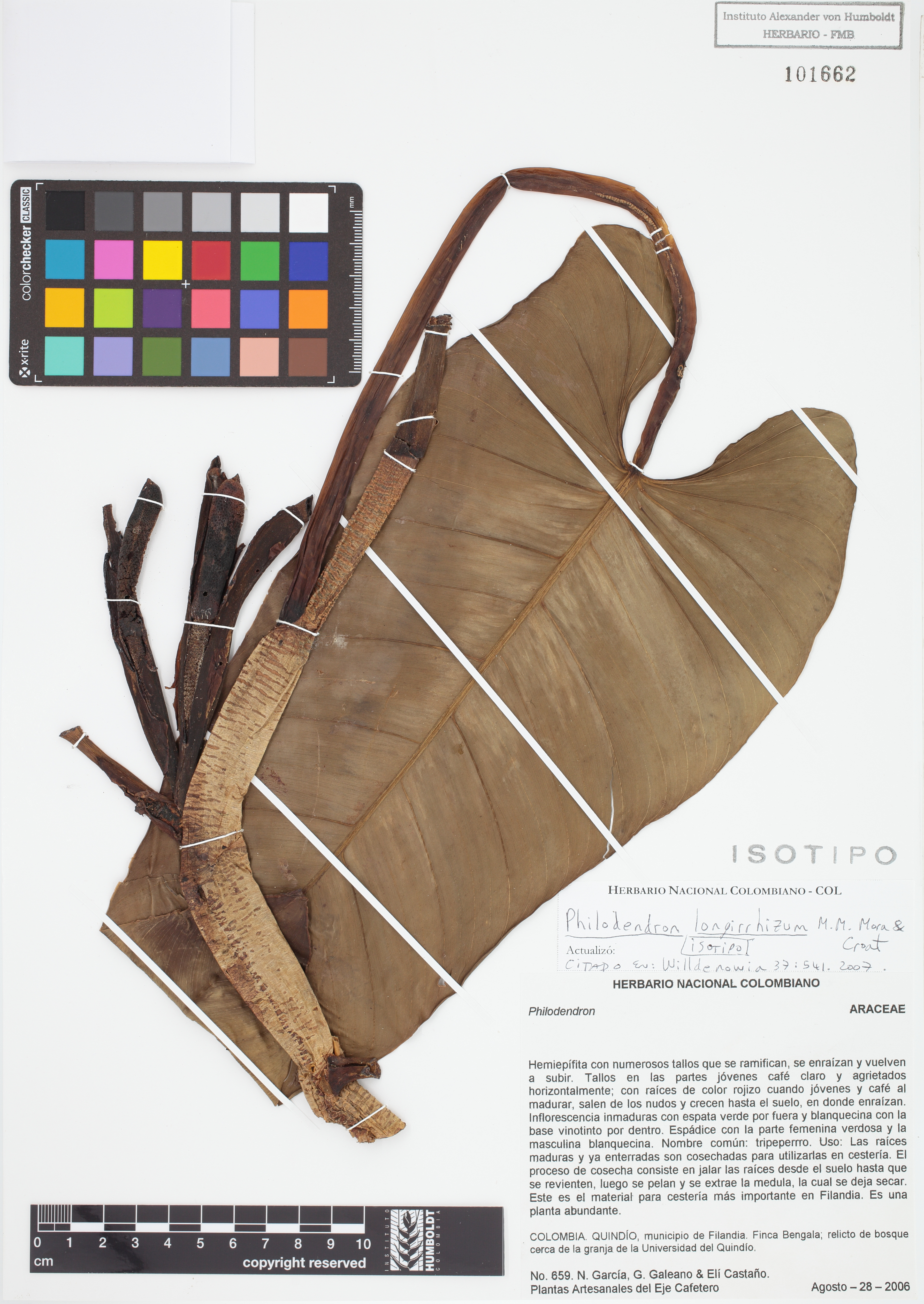 Isotipo de <em>Philodendron longirrhizum</em>, FMB-101662, Fotografía por Robles A.