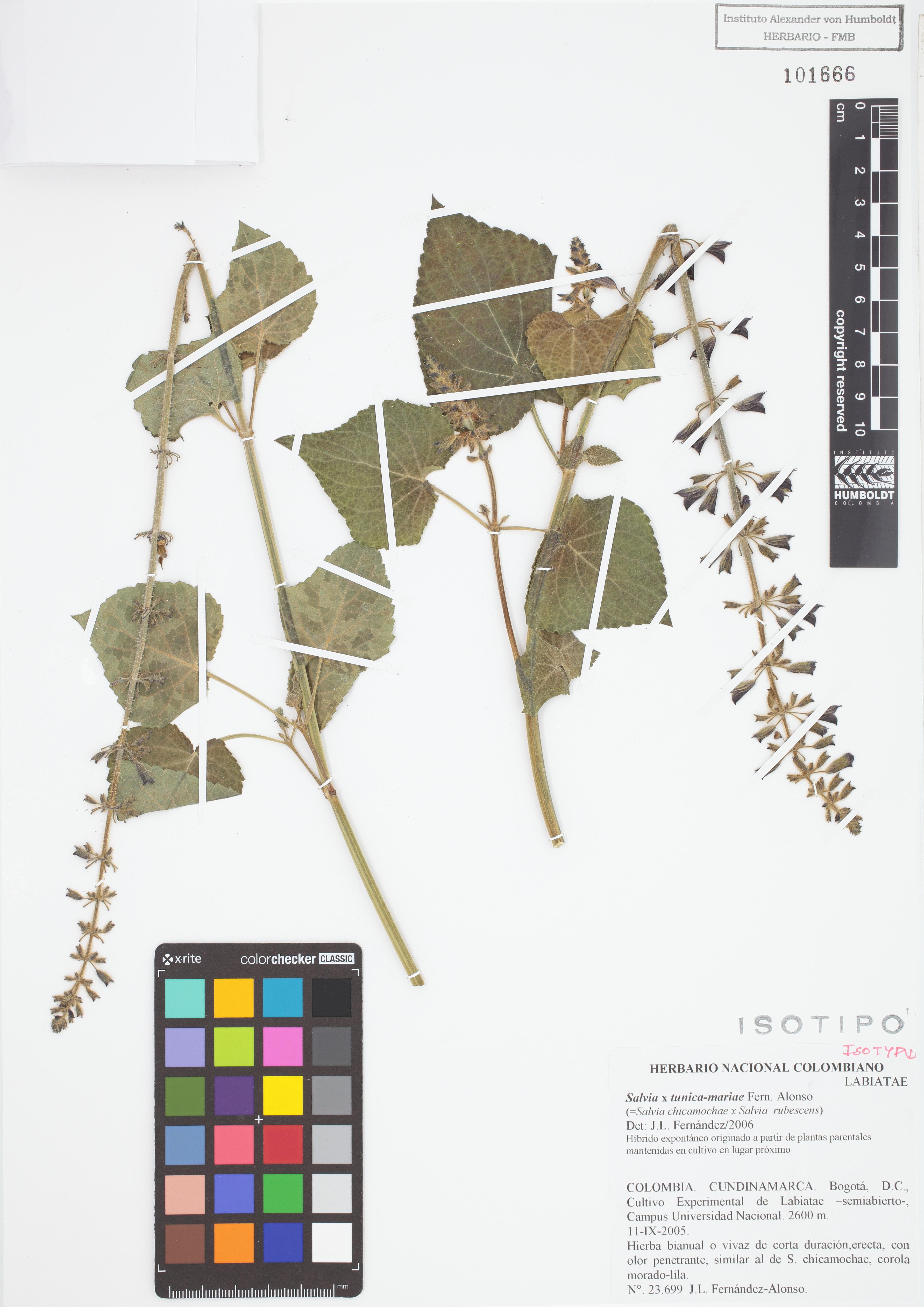 Isotipo de <em>Salvia</em> x <em>tunica-mariae</em>, FMB-101666, Fotografía por Robles A.