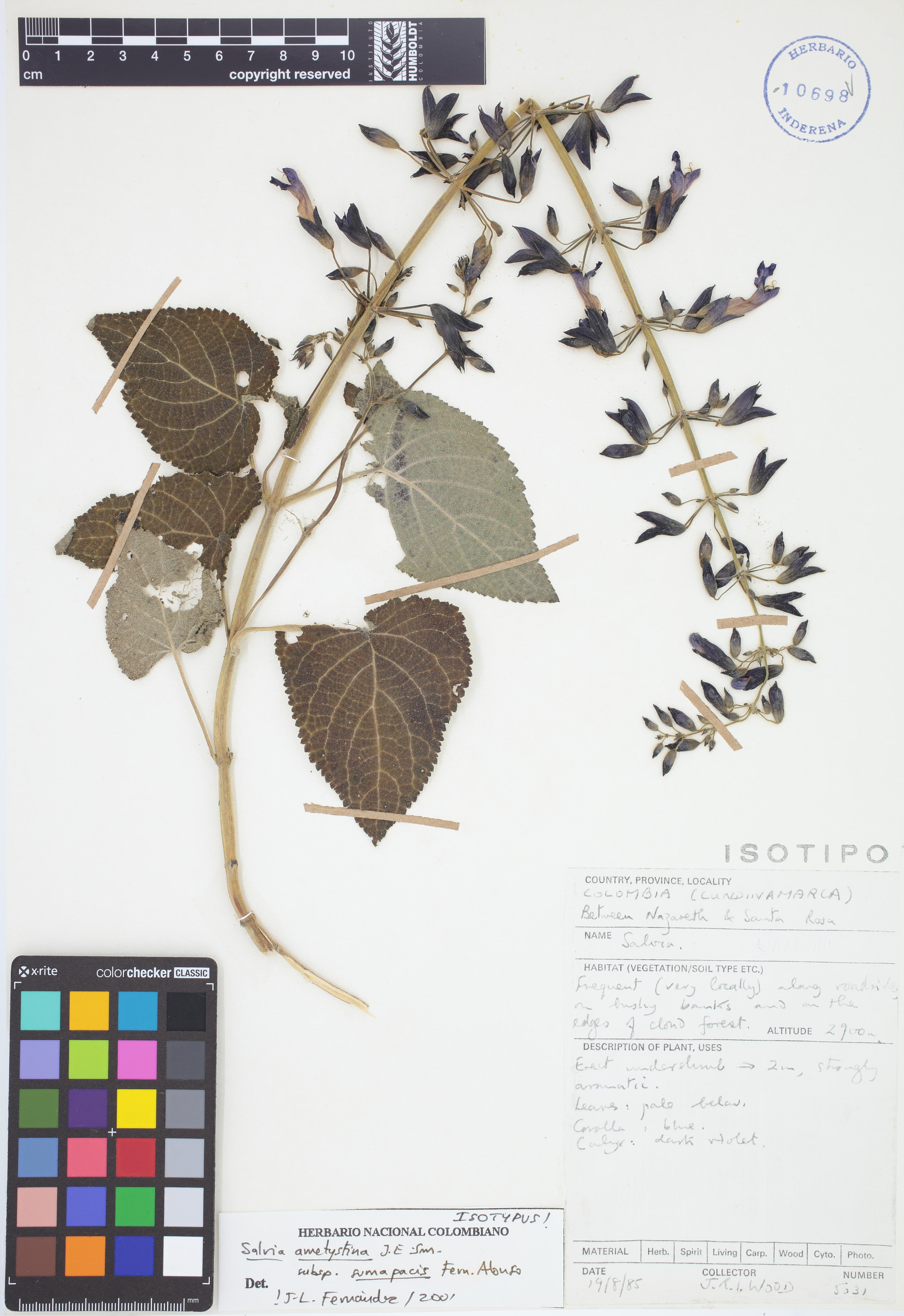 Isotipo de <em>Salvia amethystina</em> subsp. <em>sumapacis</em>, FMB-10698, Fotografía por Robles A.
