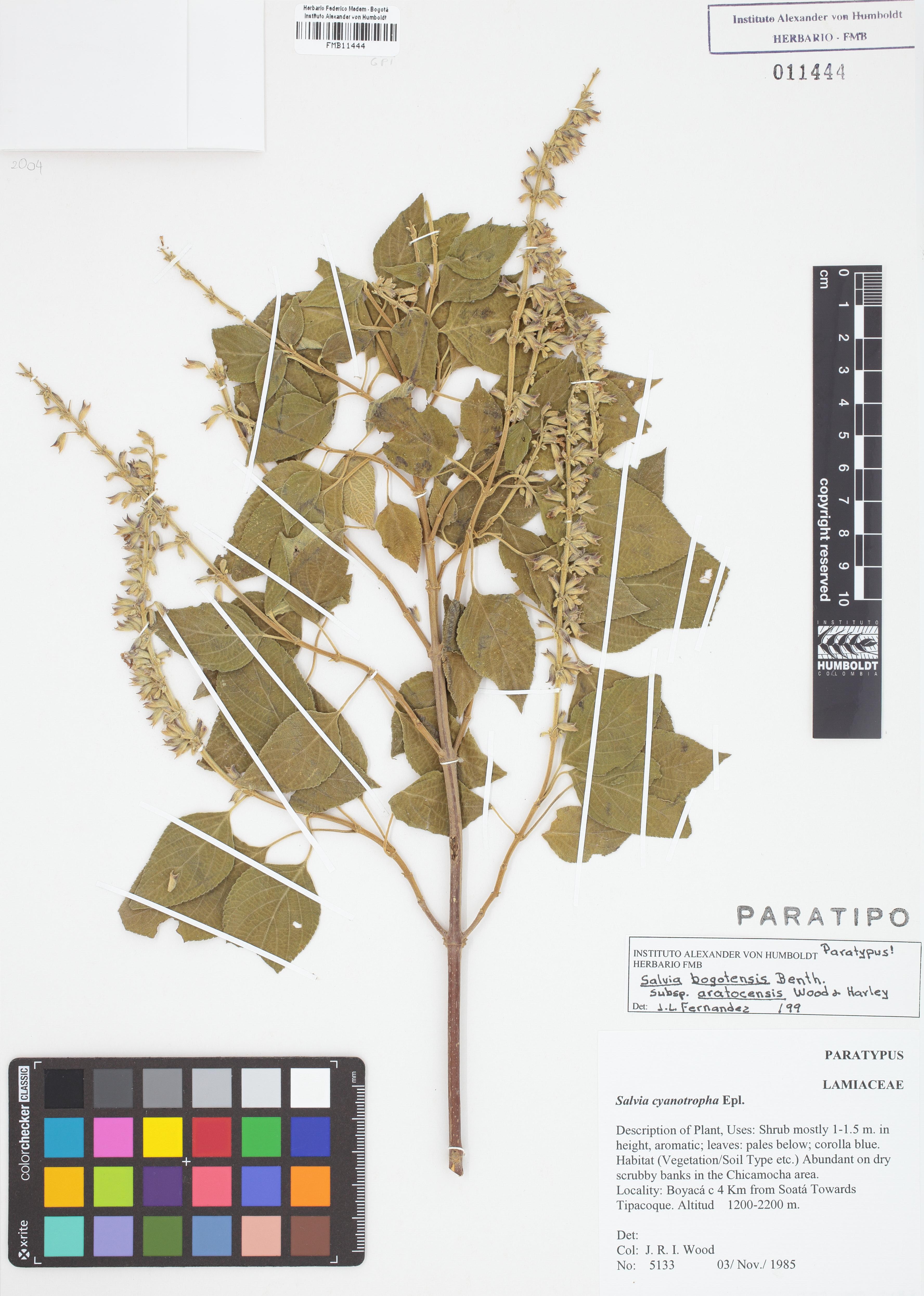 Paratipo de <em>Salvia bogotensis</em> subsp. <em>aratocensis</em>, FMB-11444, Fotografía por Robles A.