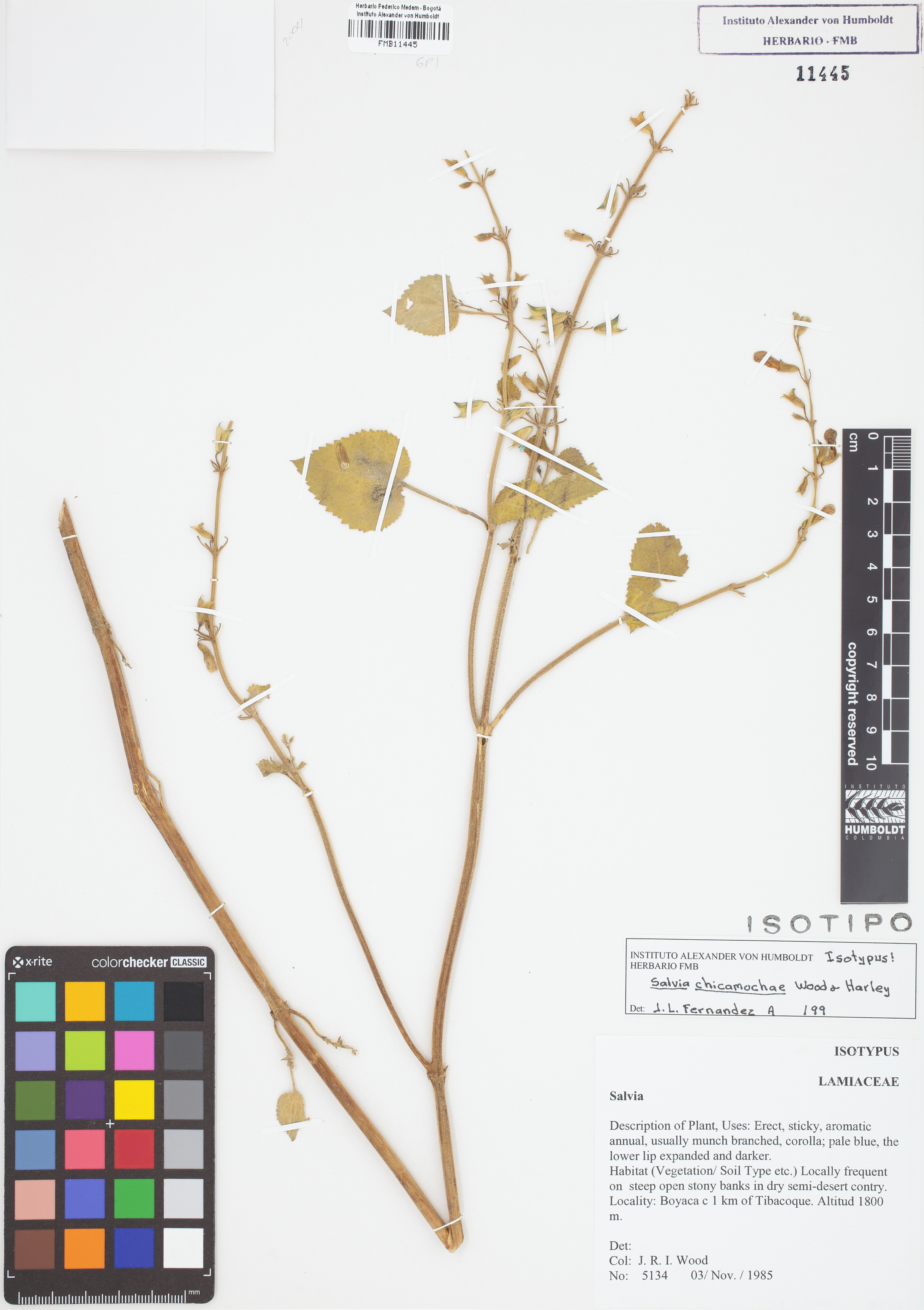 Isotipo de <em>Salvia chicamochae</em>, FMB-11445, Fotografía por Robles A.