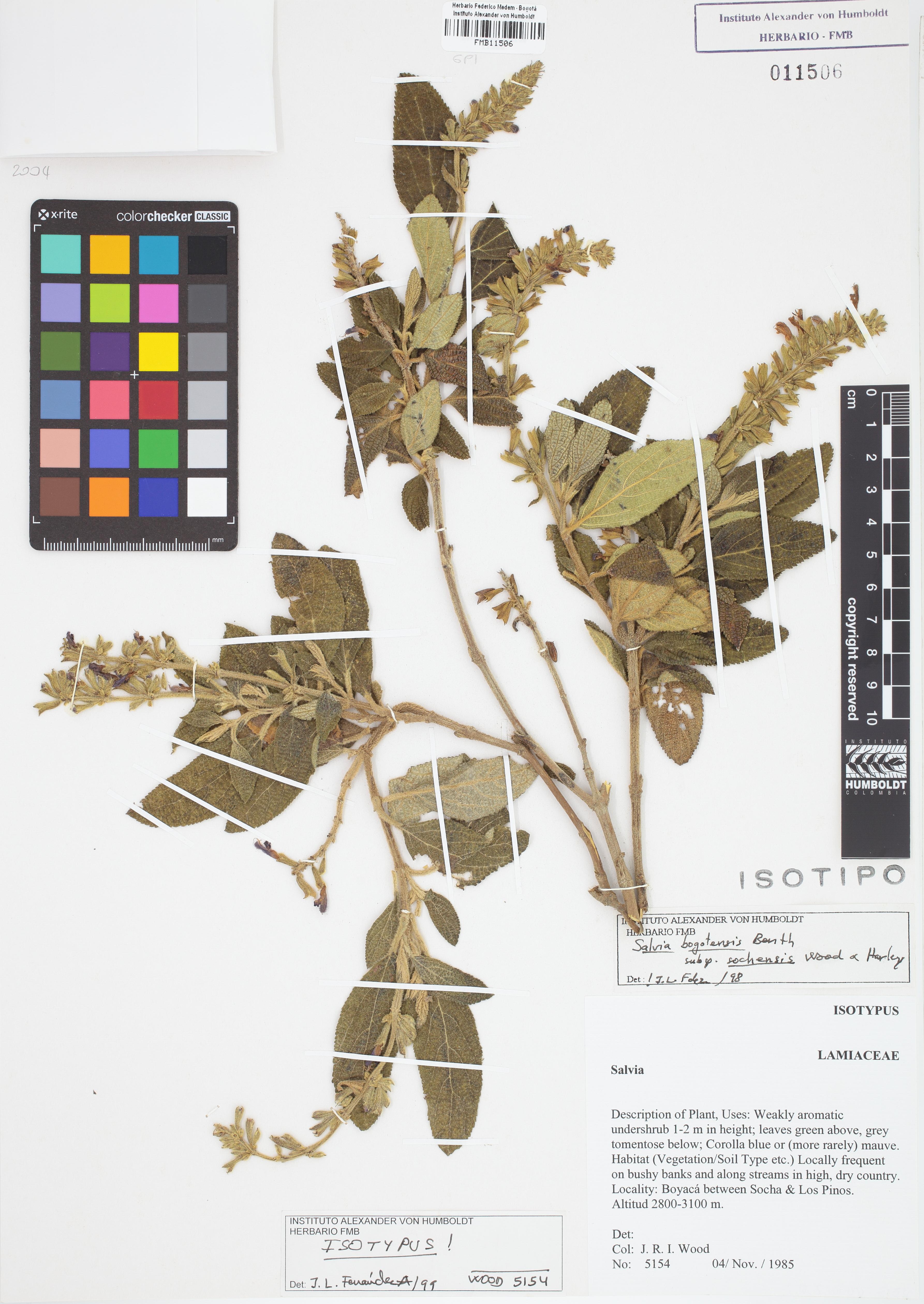 Isotipo de <em>Salvia bogotensis</em> subsp. <em>sochensis</em>, FMB-11506, Fotografía por Robles A.