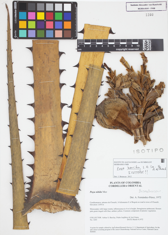 Isotipo de <em>Puya horrida</em>, FMB-1200, Fotografía por Robles A.