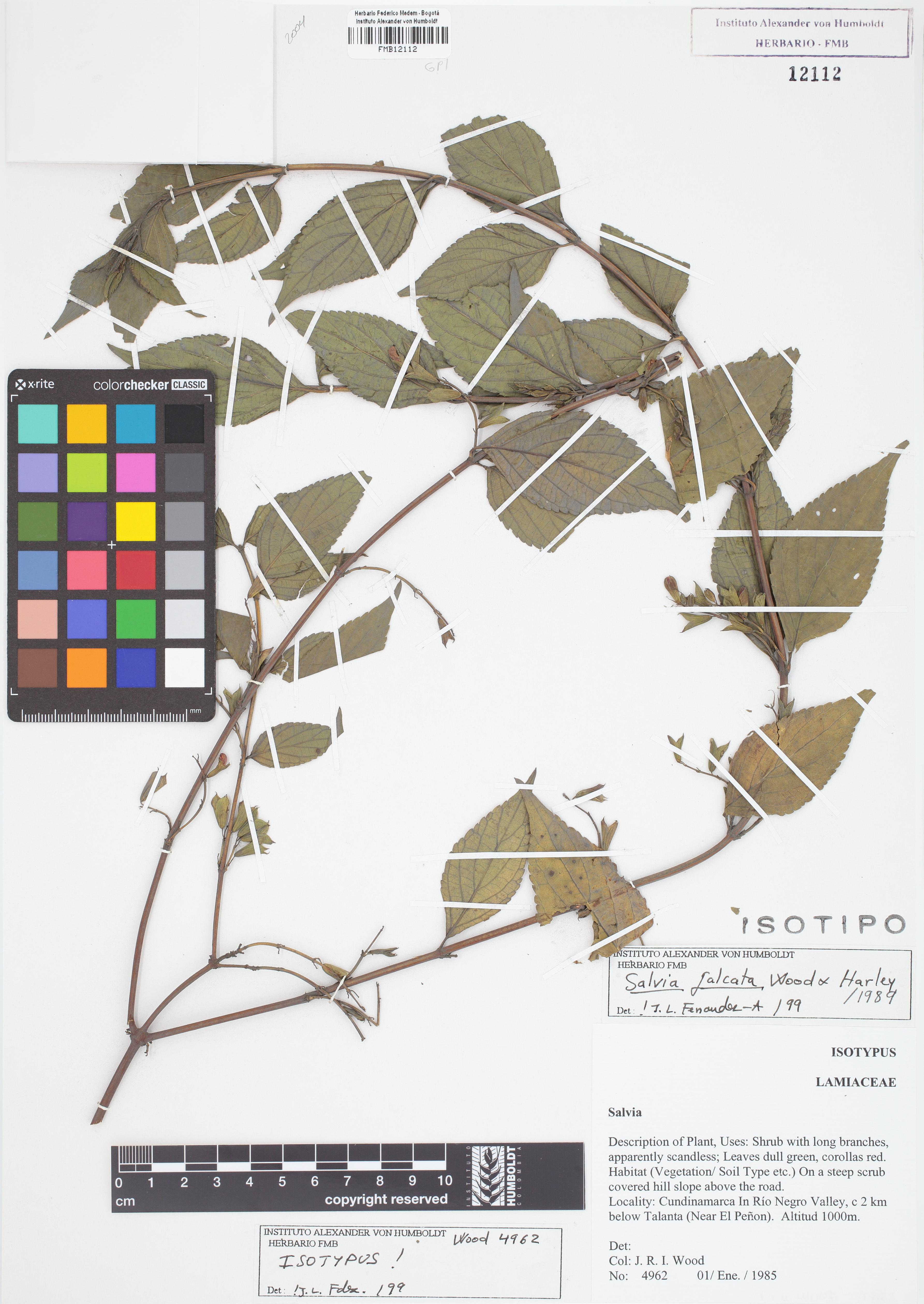 Isotipo de <em>Salvia falcata</em>, FMB-12112, Fotografía por Robles A.