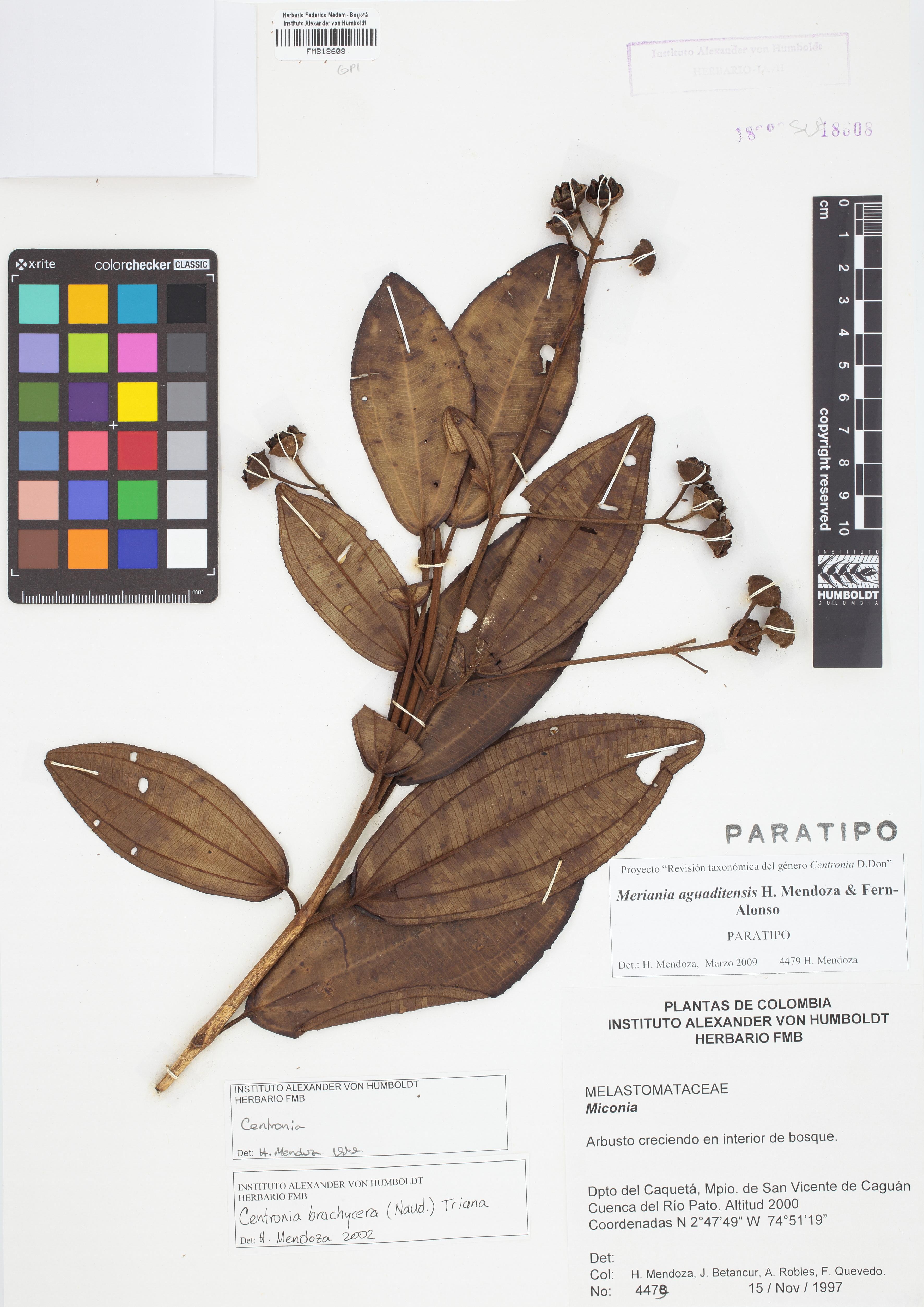 Paratipo de <em>Meriania aguaditensis</em>, FMB-18608, Fotografía por Robles A.