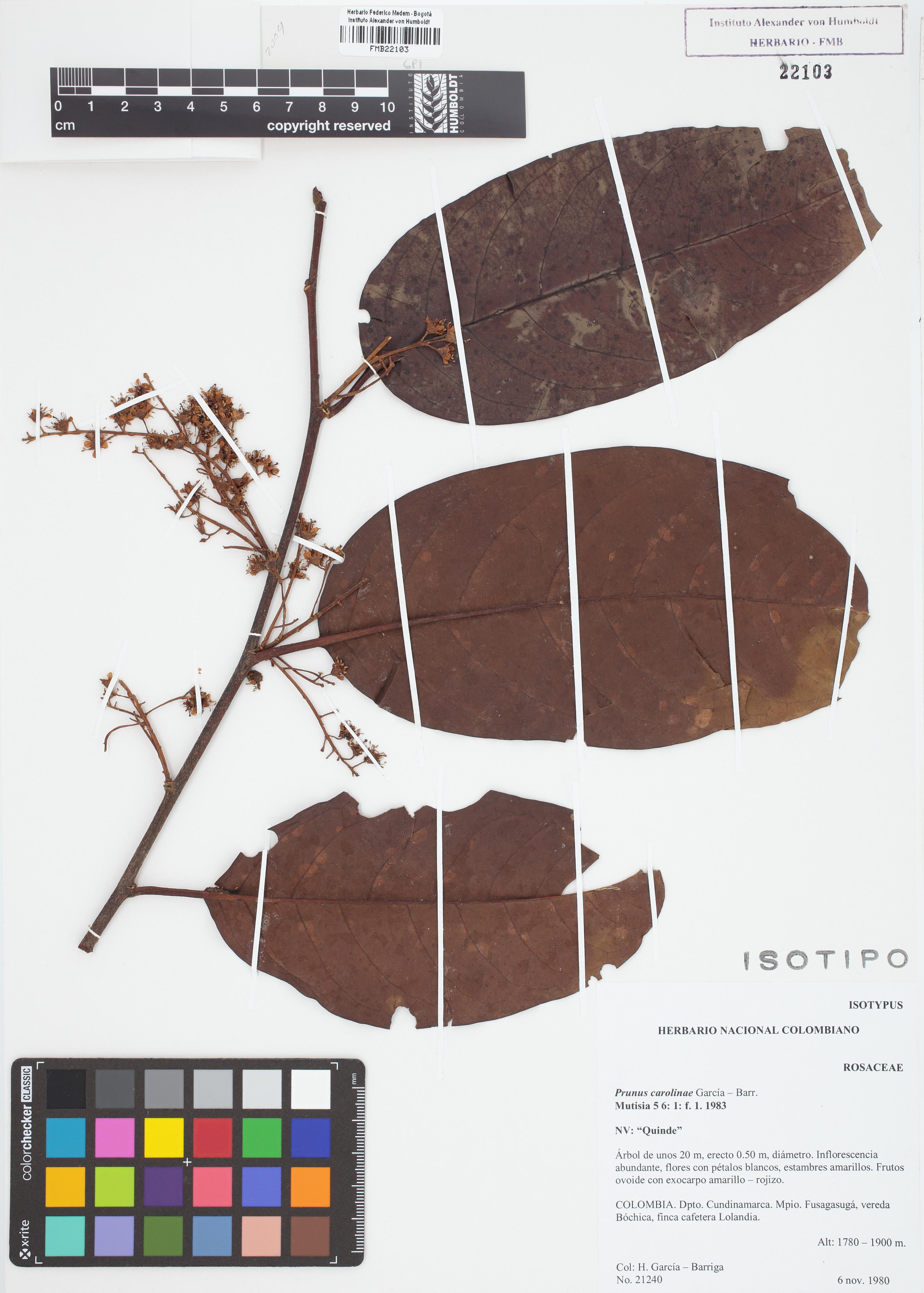 Isotipo de <em>Prunus carolinae</em>, FMB-22103, Fotografía por Robles A.