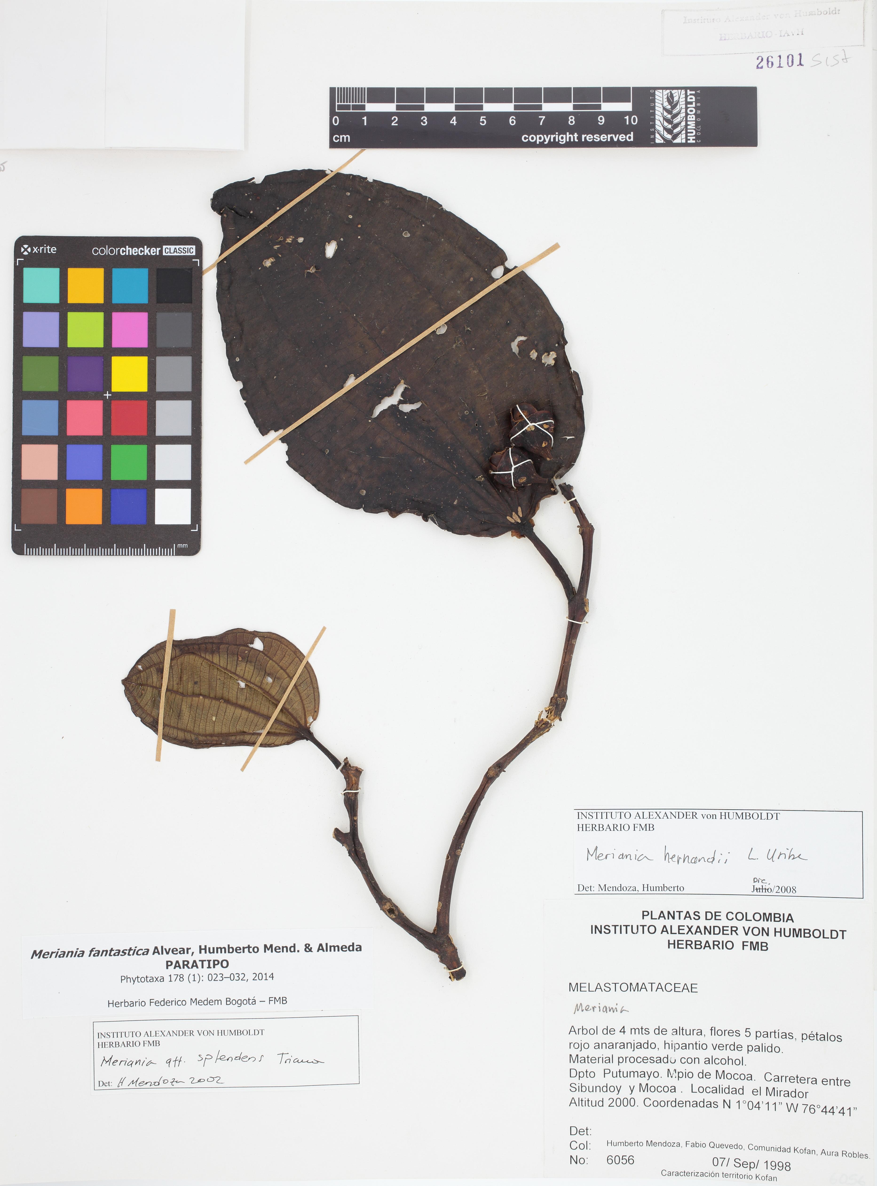 Paratipo de <em>Meriania fantastica</em>, FMB-26101, Fotografía por Robles A.