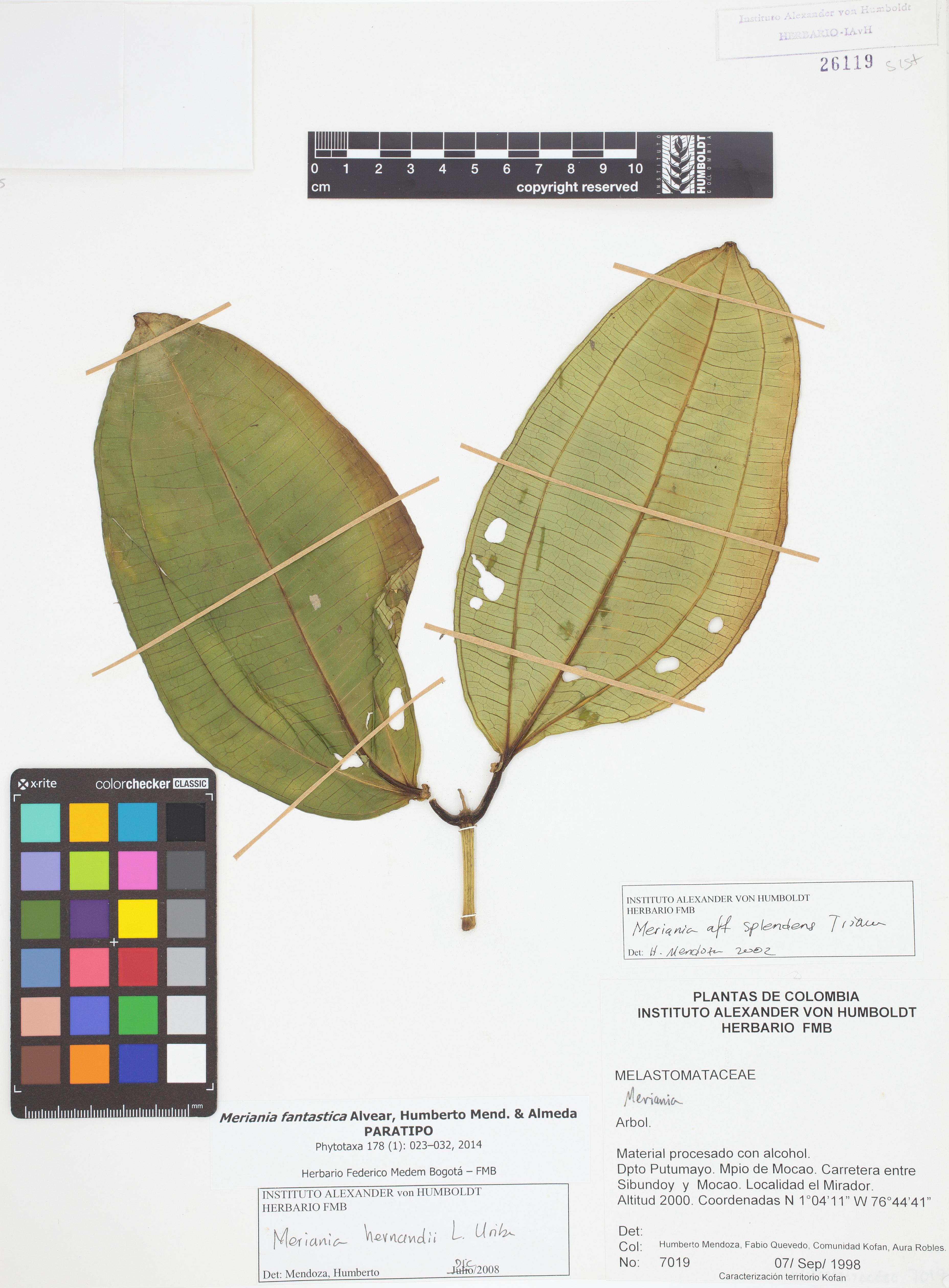 Paratipo de <em>Meriania fantastica</em>, FMB-26119, Fotografía por Robles A.