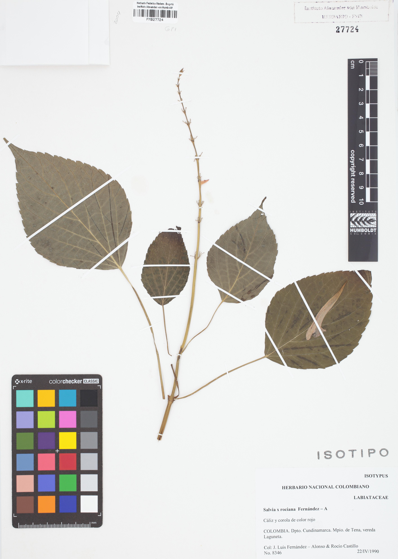 Isotipo de <em>Salvia</em> x <em>rociana</em>, FMB-27724, Fotografía por Robles A.