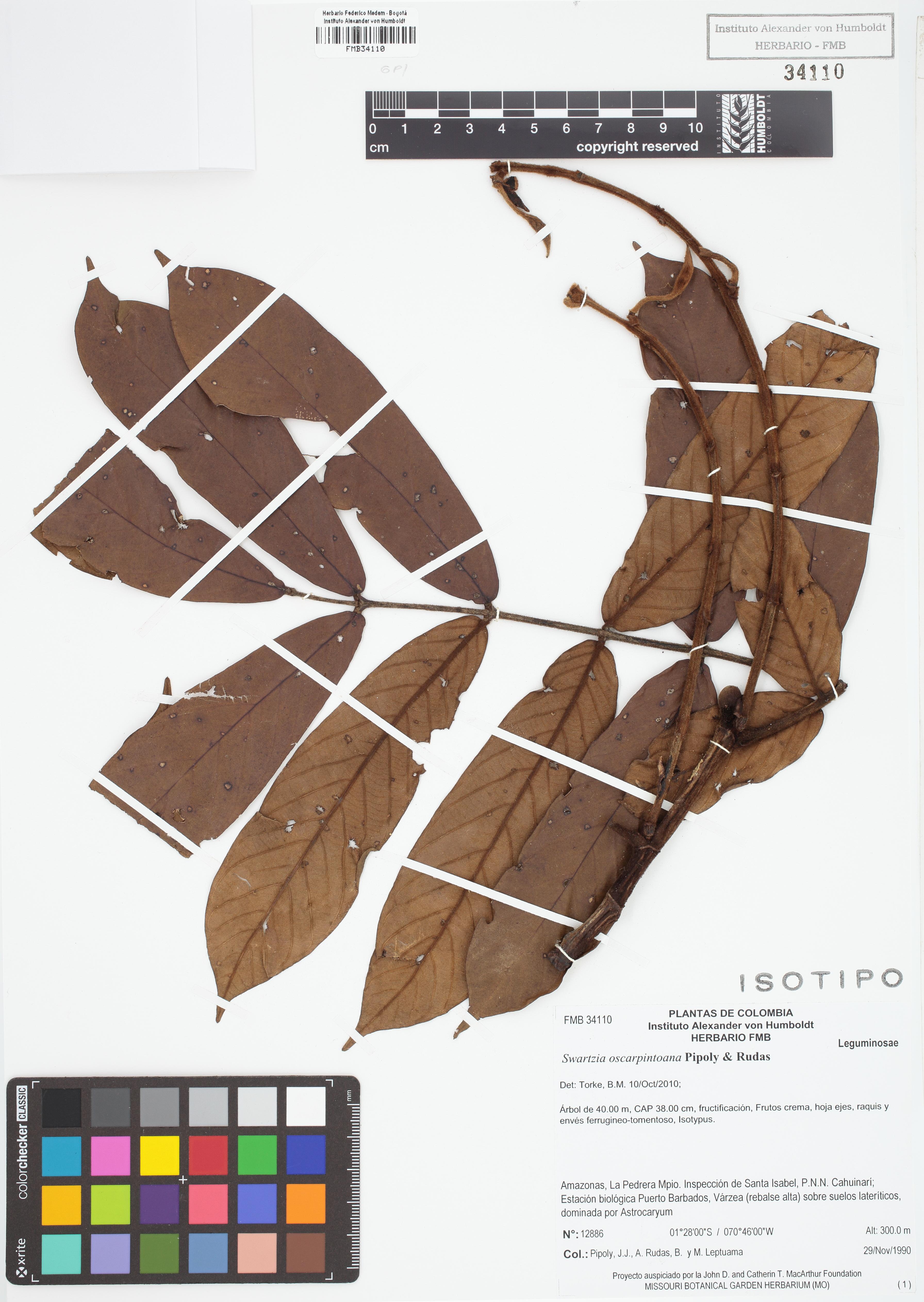Isotipo de <em>Swartzia oscarpintoana</em>, FMB-34110, Fotografía por Robles A.