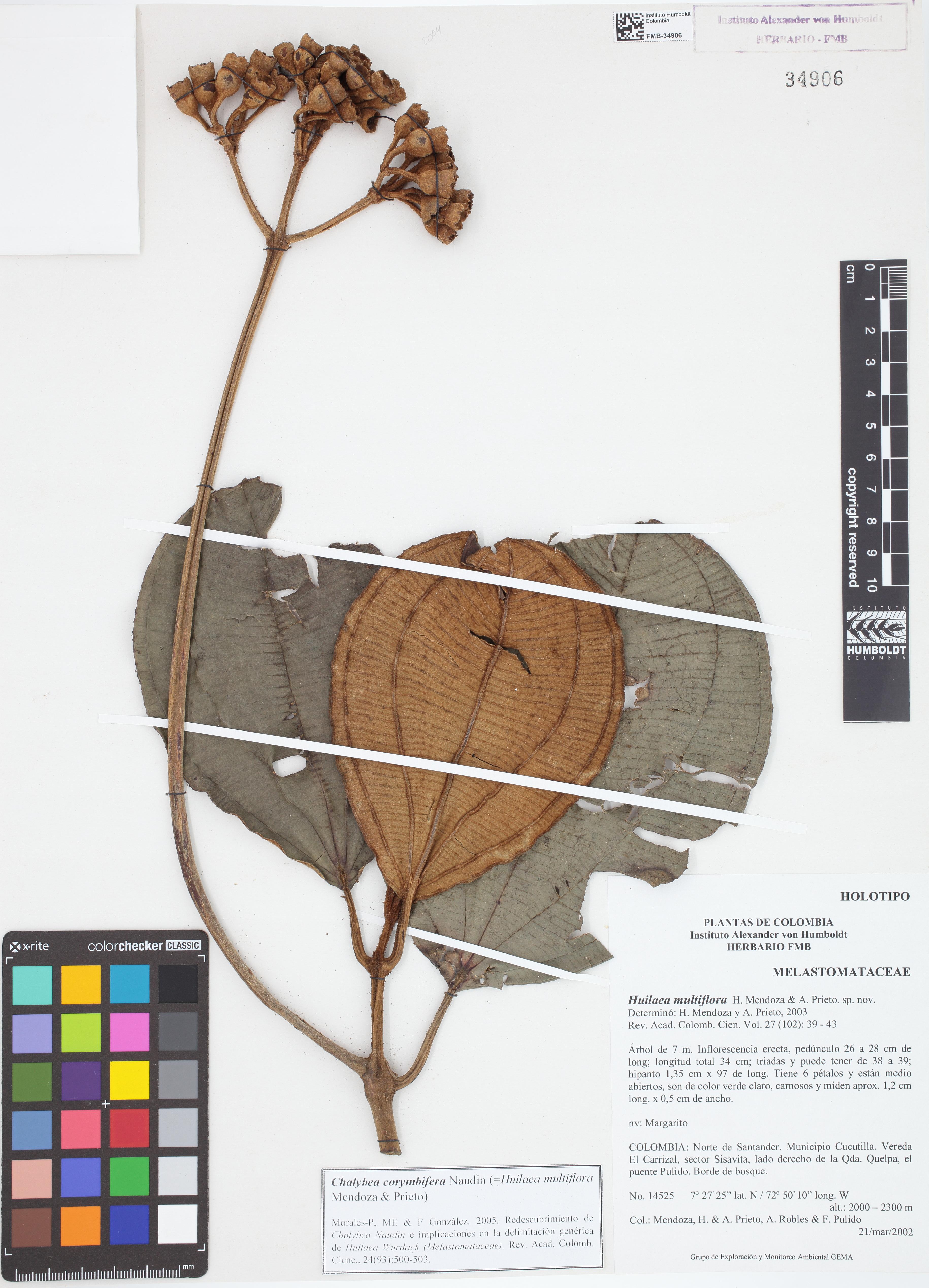 Holotipo de <em>Huilaea multiflora</em>, FMB-34906, Fotografía por Robles A.