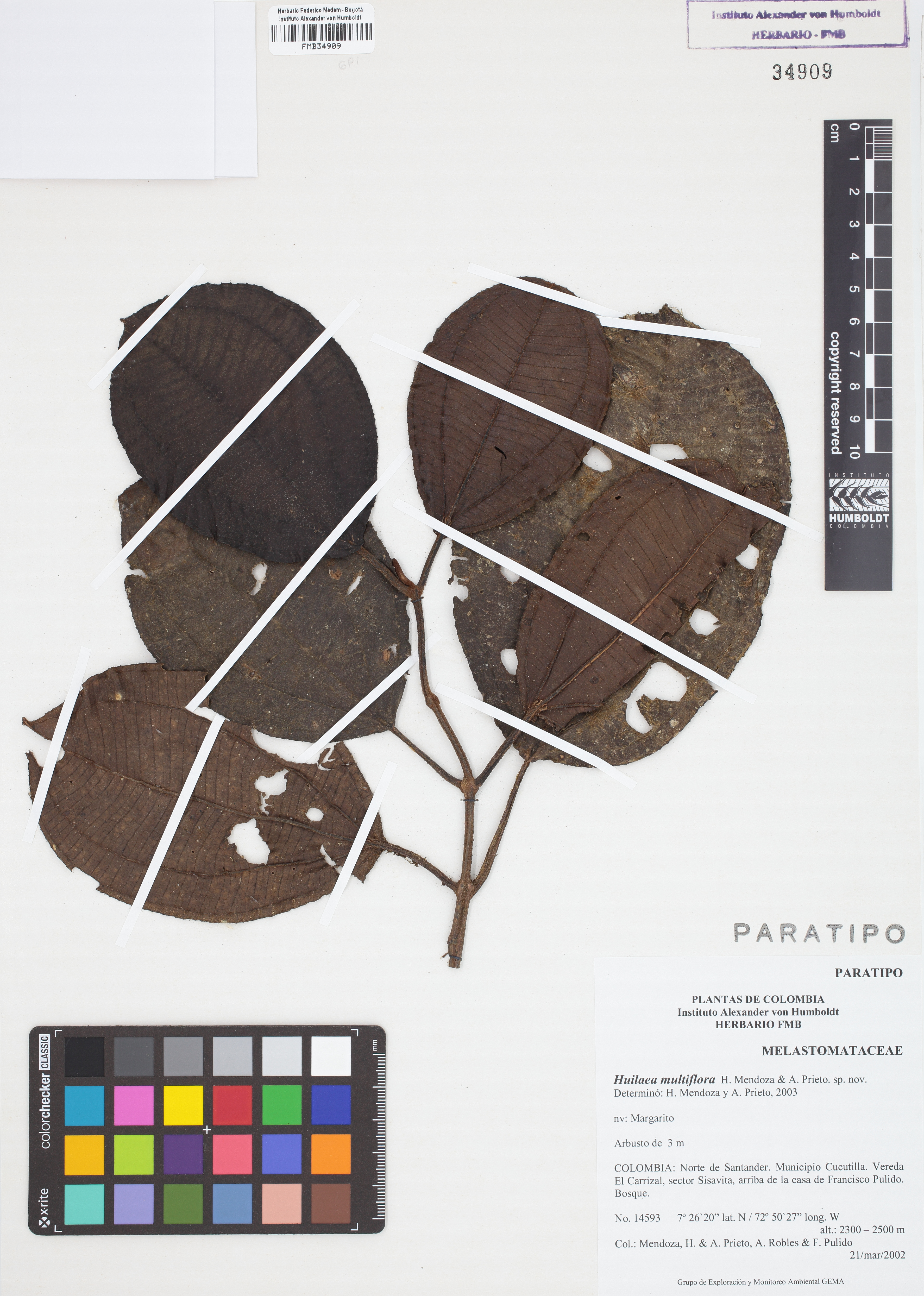 Paratipo de <em>Huilaea multiflora</em>, FMB-34909, Fotografía por Robles A.