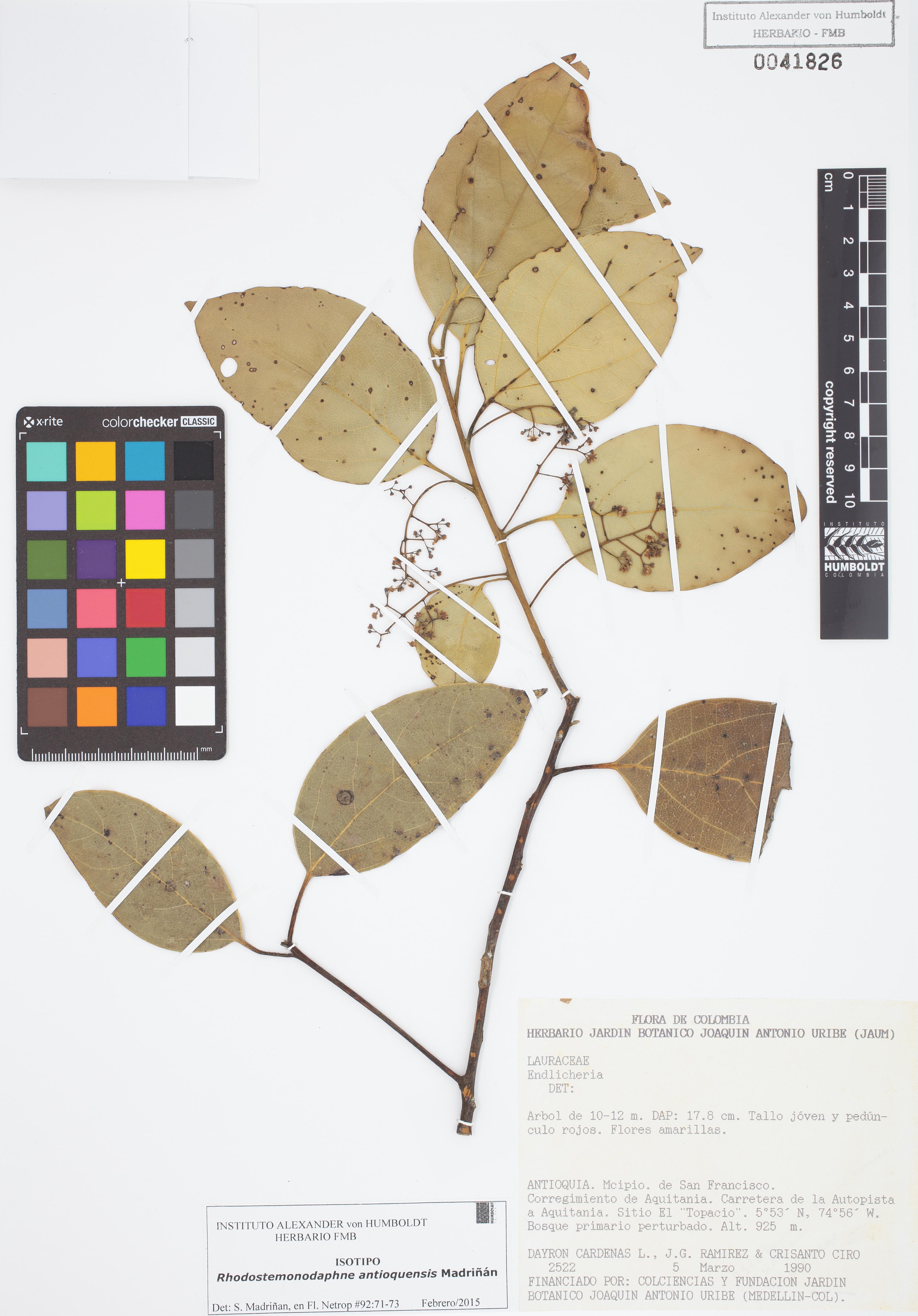 Isotipo de <em>Rhodostemonodaphne antioquensis</em>, FMB-41826, Fotografía por Robles A.