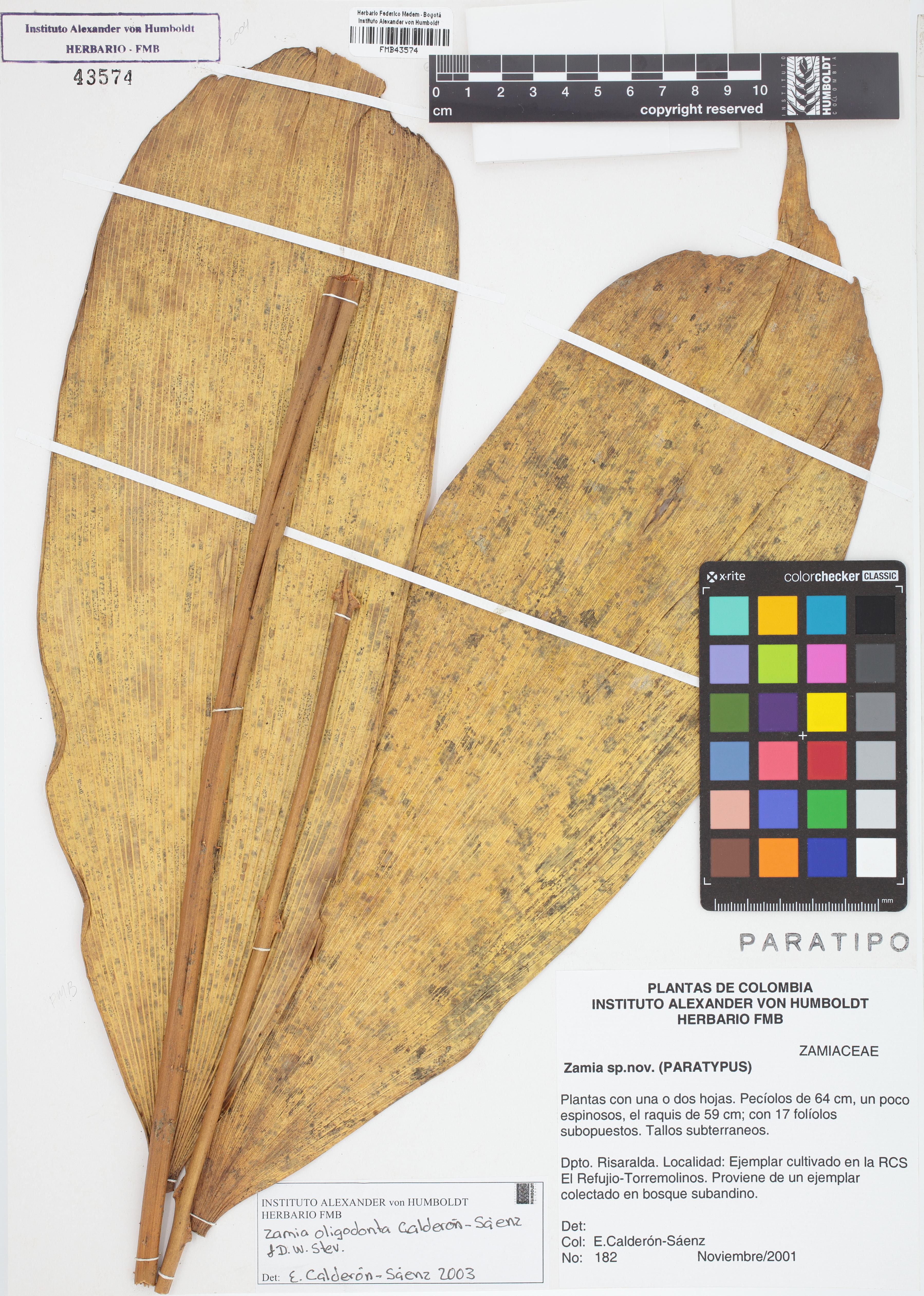 Paratipo de <em>Zamia oligodonta</em>, FMB-43574, Fotografía por Robles A.