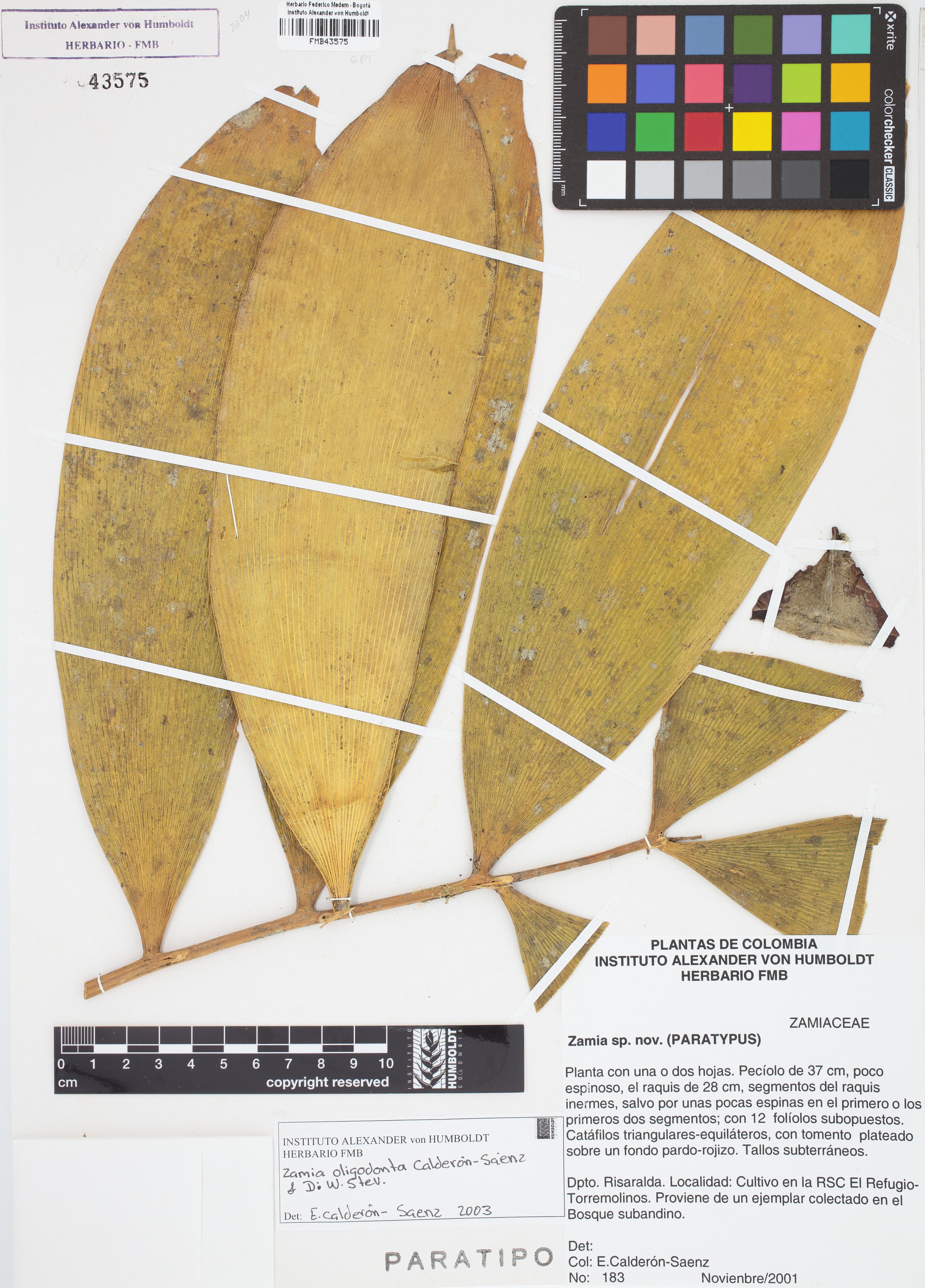 Paratipo de <em>Zamia oligodonta</em>, FMB-43575, Fotografía por Robles A.
