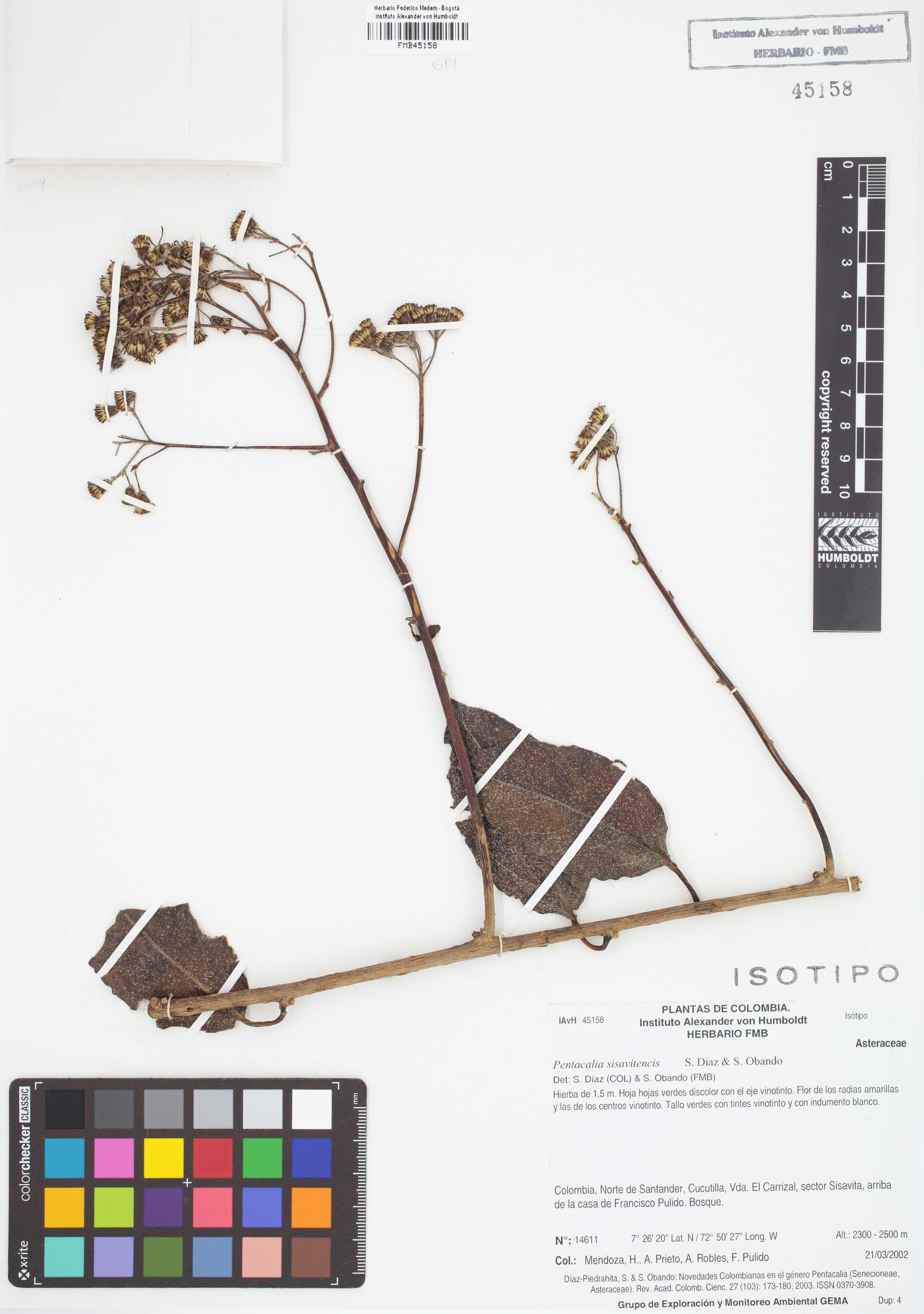 Isotipo de <em>Pentacalia sisavitensis</em>, FMB-45158, Fotografía por Robles A.