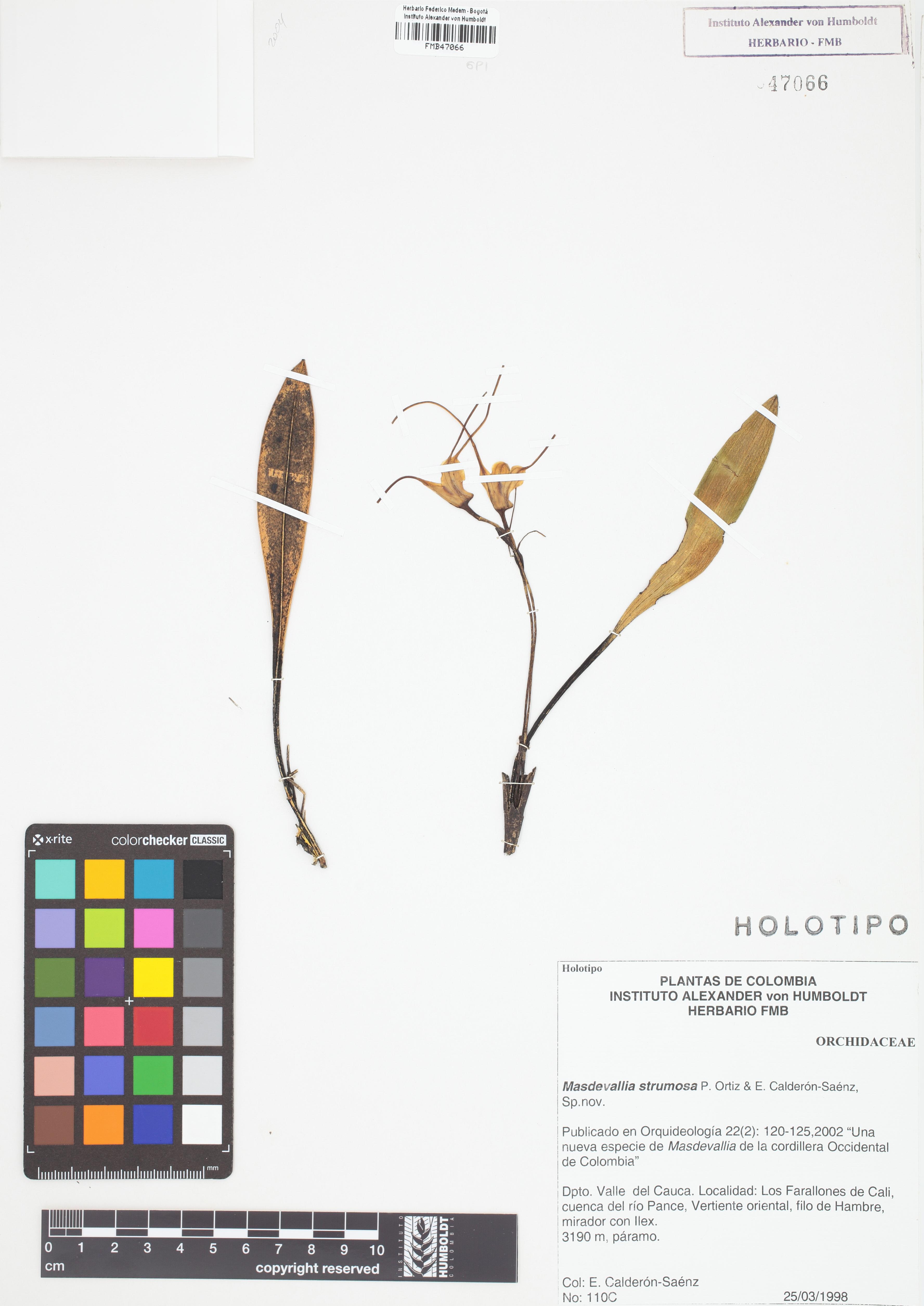 Holotipo de <em>Masdevallia strumosa</em>, FMB-47066, Fotografía por Robles A.