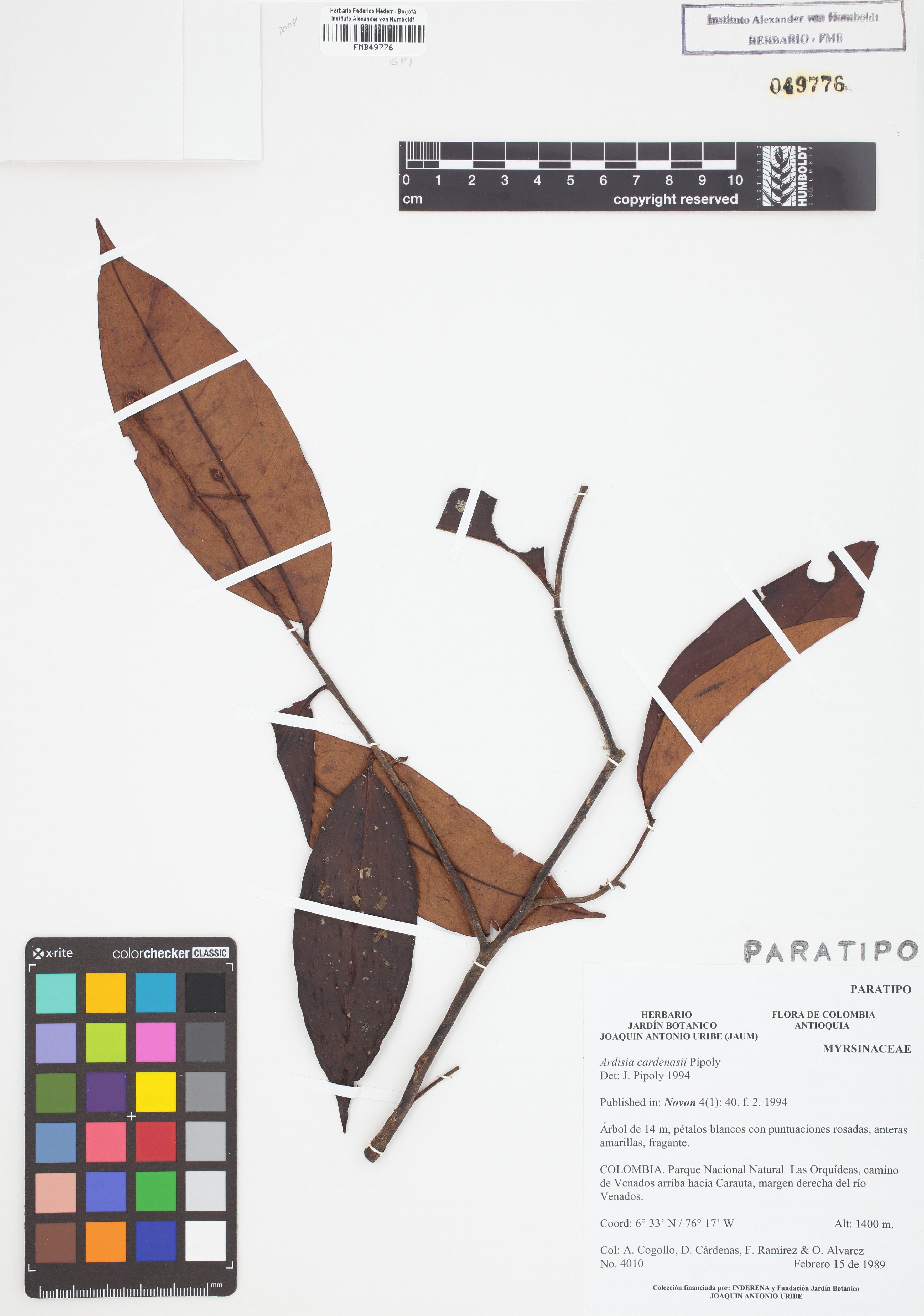 Paratipo de <em>Ardisia cardenasii</em>, FMB-49776, Fotografía por Robles A.