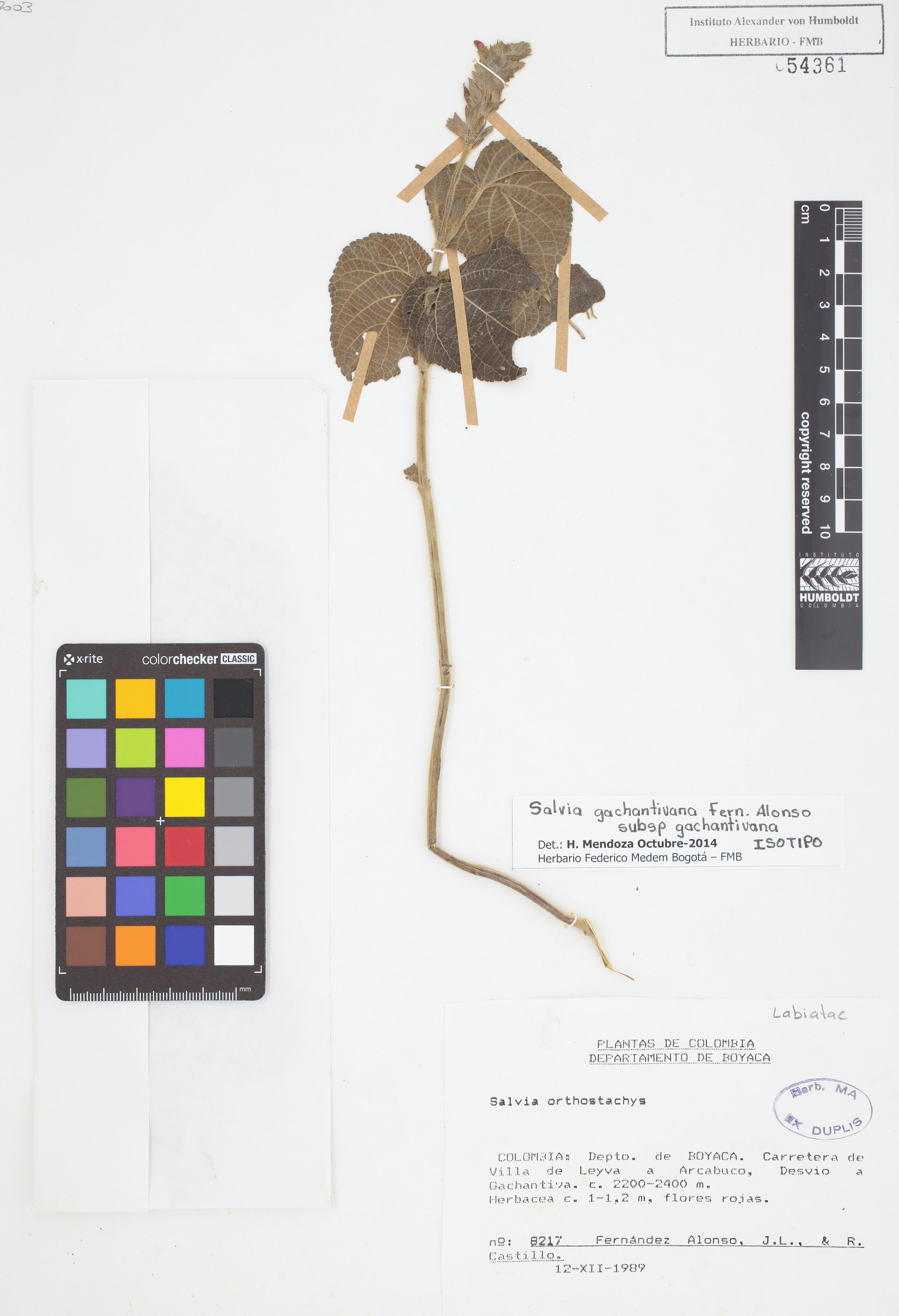 Isotipo de <em>Salvia gachantivana</em> subsp. <em>gachantivana</em>, FMB-54361, Fotografía por Robles A.