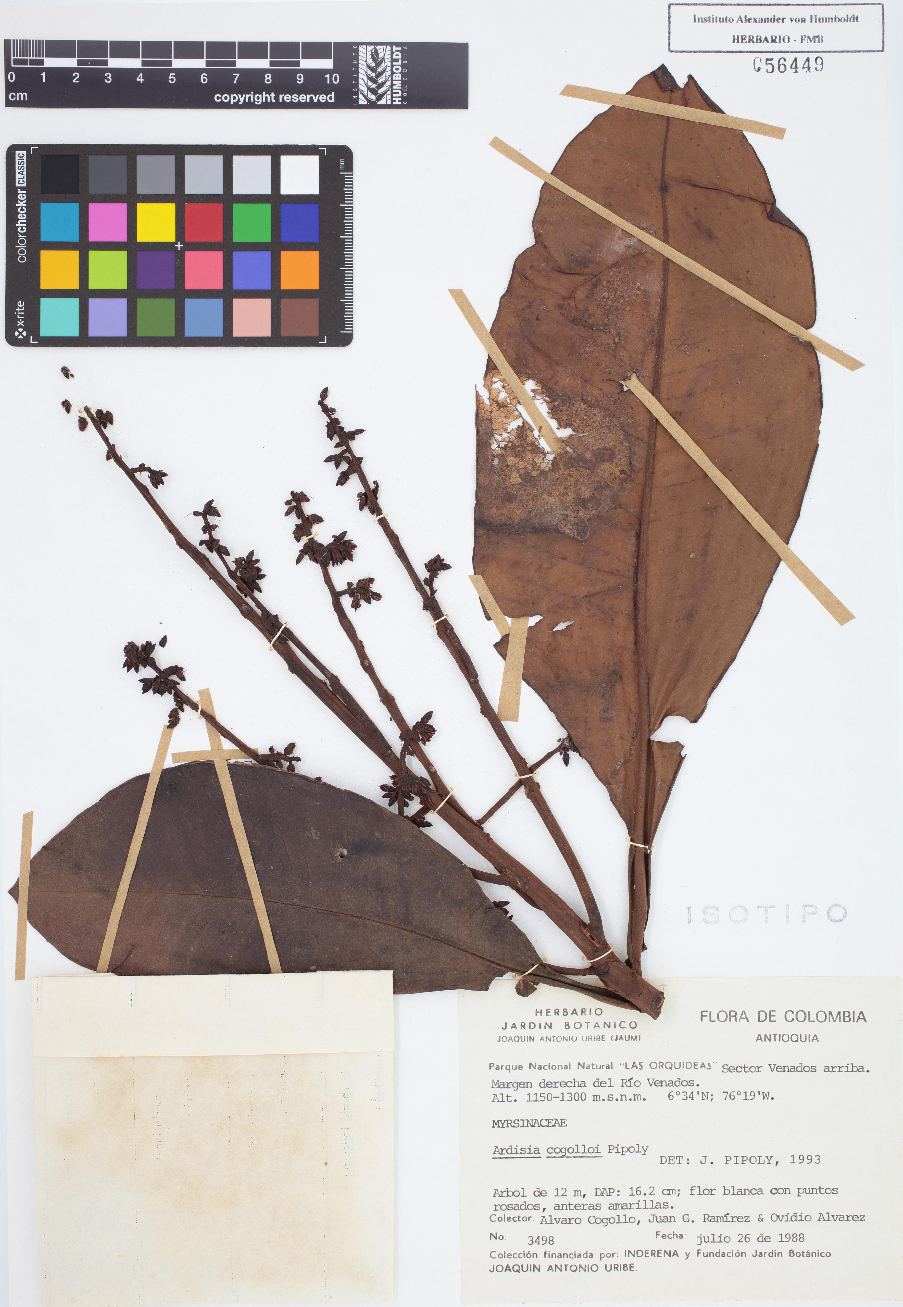 Isotipo de <em>Ardisia cogolloi</em>, FMB-56449, Fotografía por Robles A.