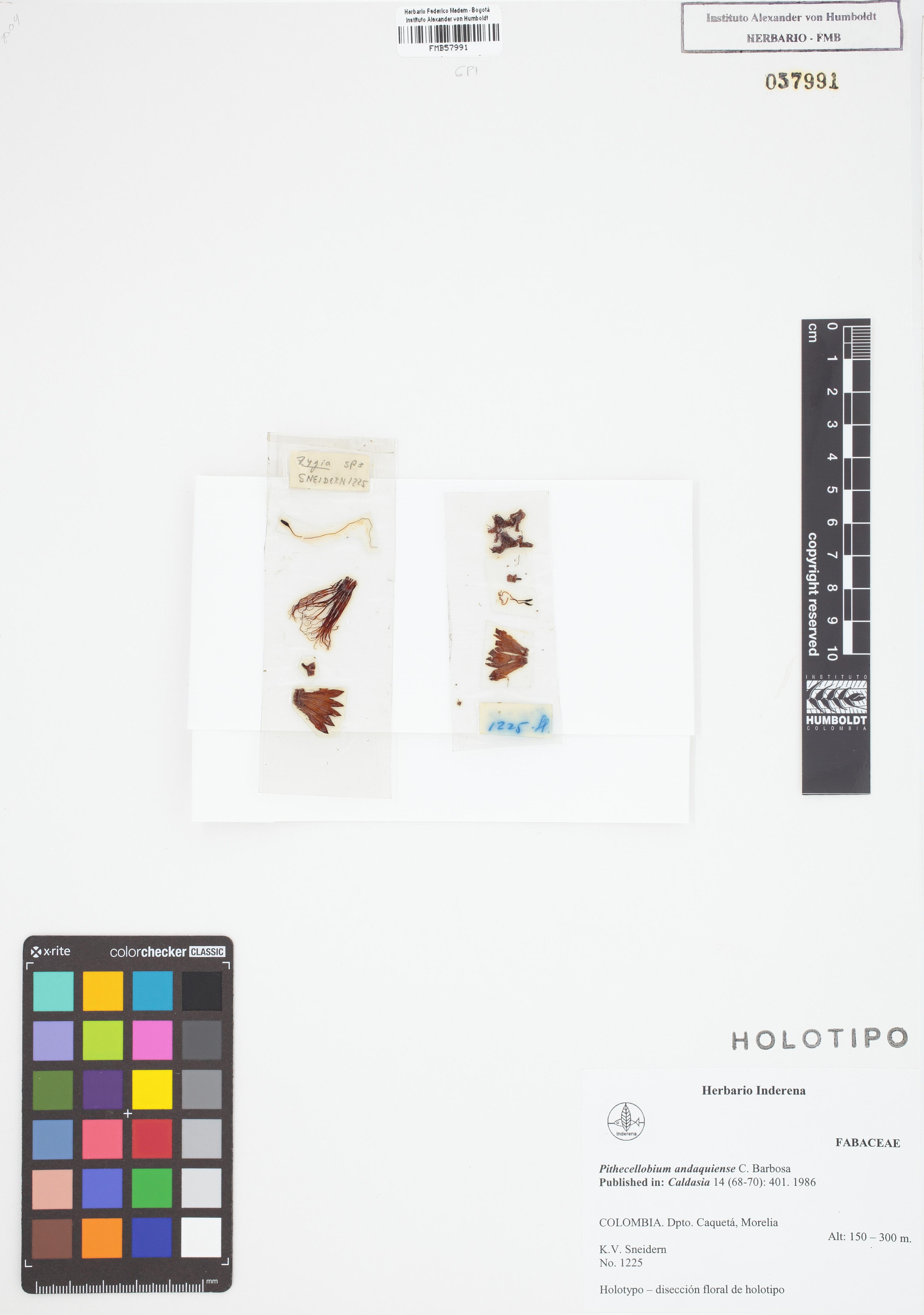 Holotipo de <em>Pithecellobium andaquiense</em>, FMB-57991, Fotografía por Robles A.