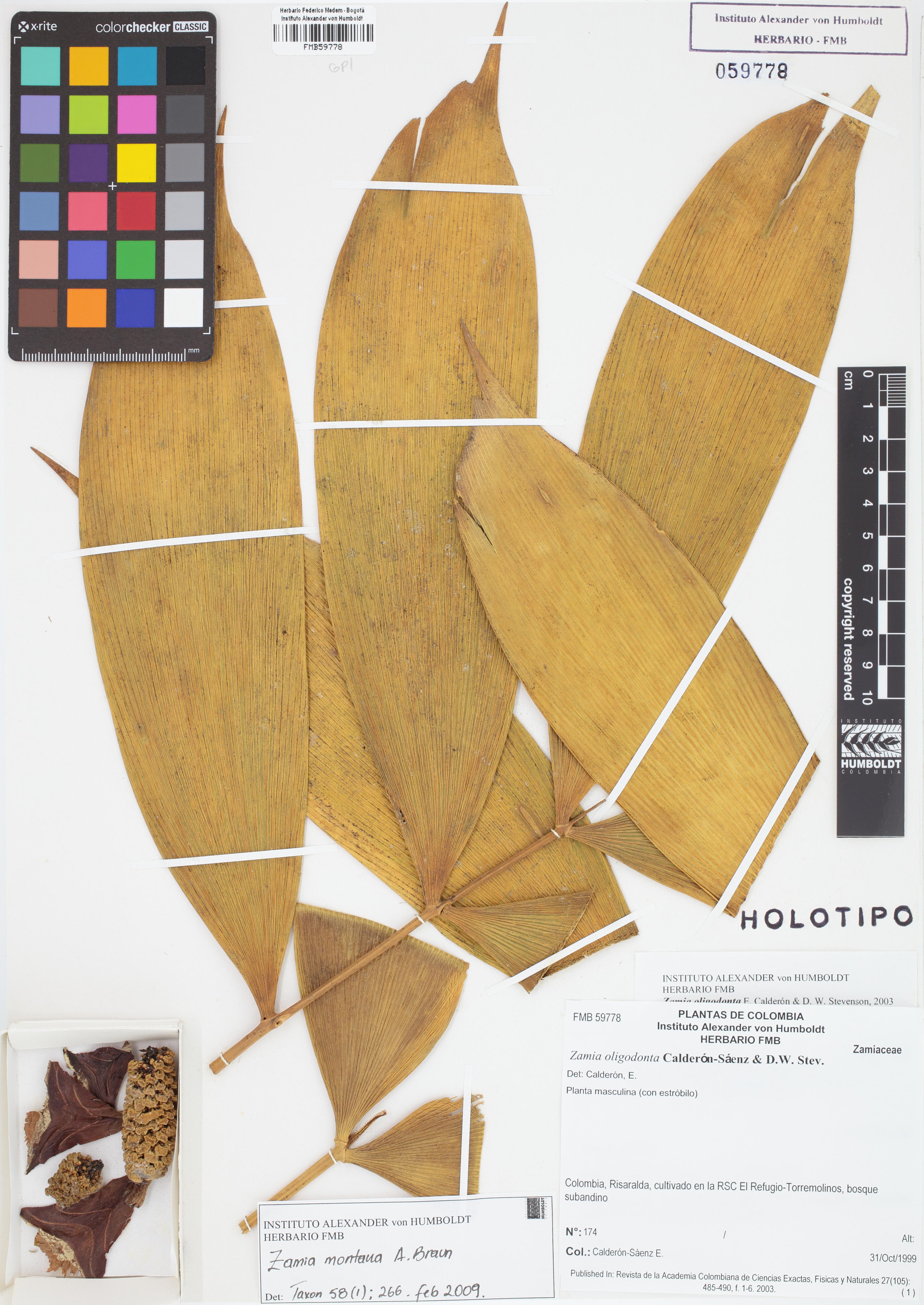 Holotipo de <em>Zamia oligodonta</em>, FMB-59778, Fotografía por Robles A.