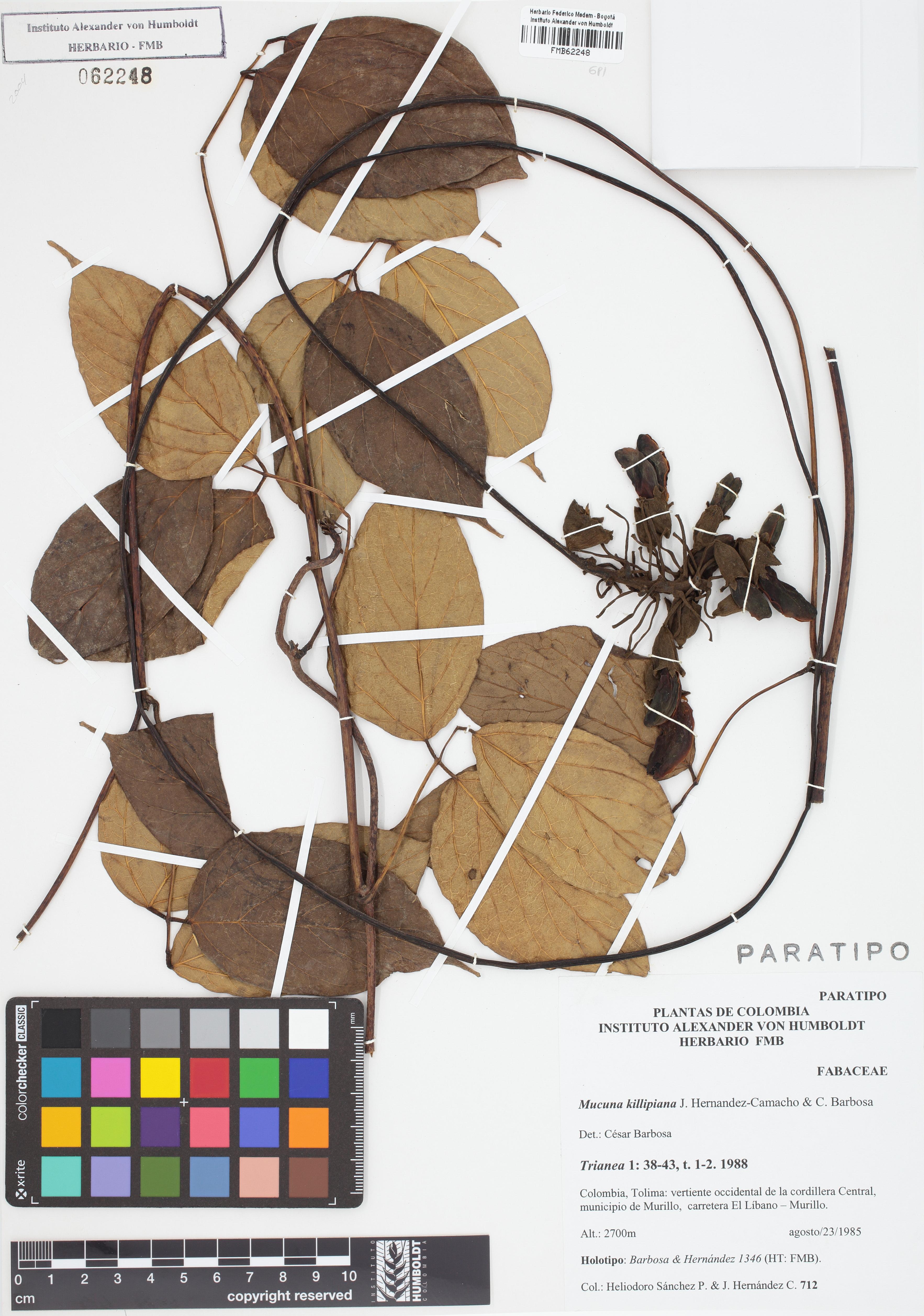 Paratipo de <em>Mucuna killipiana</em>, FMB-62248, Fotografía por Robles A.