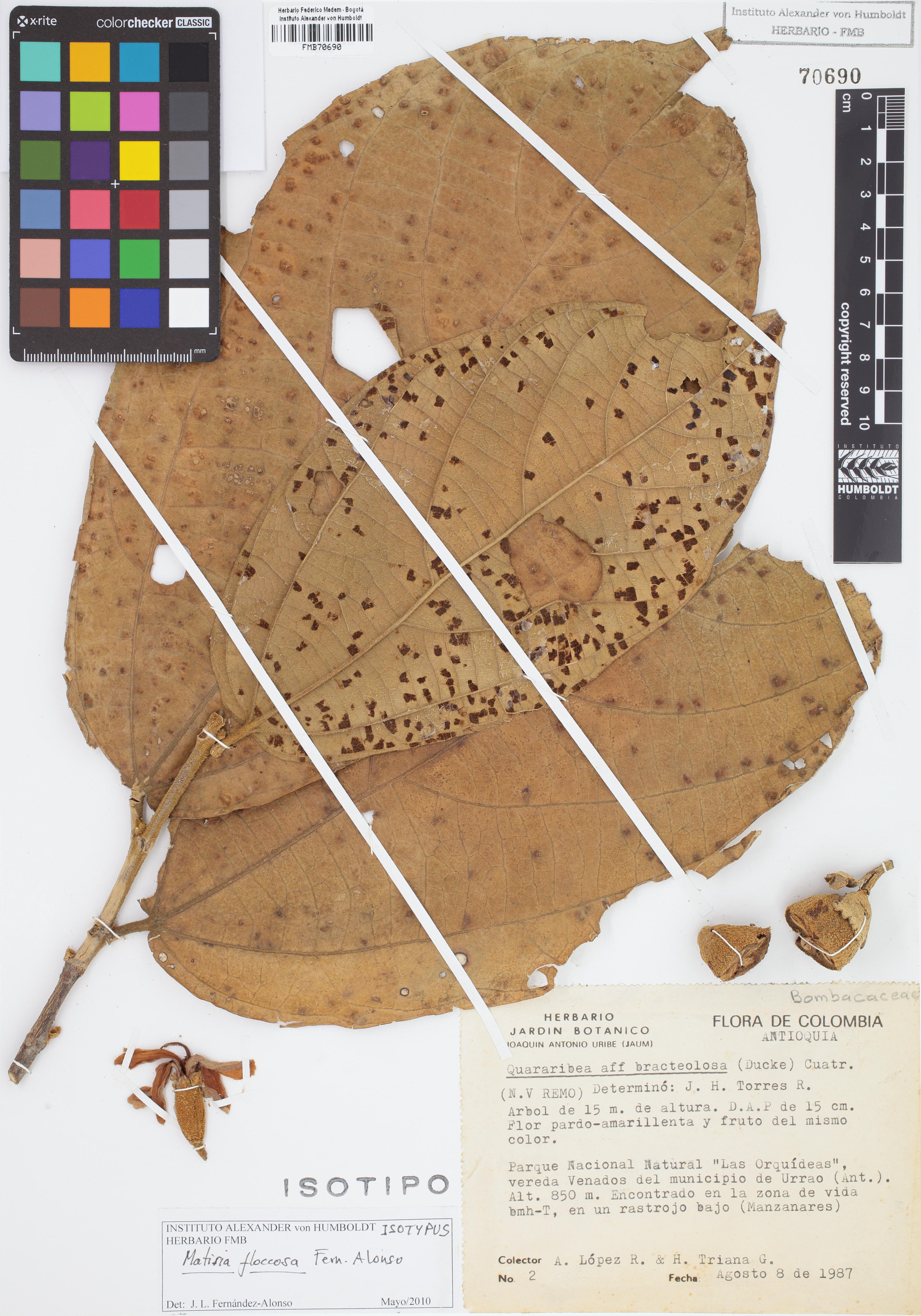 Isotipo de <em>Matisia floccosa</em>, FMB-70690, Fotografía por Robles A.