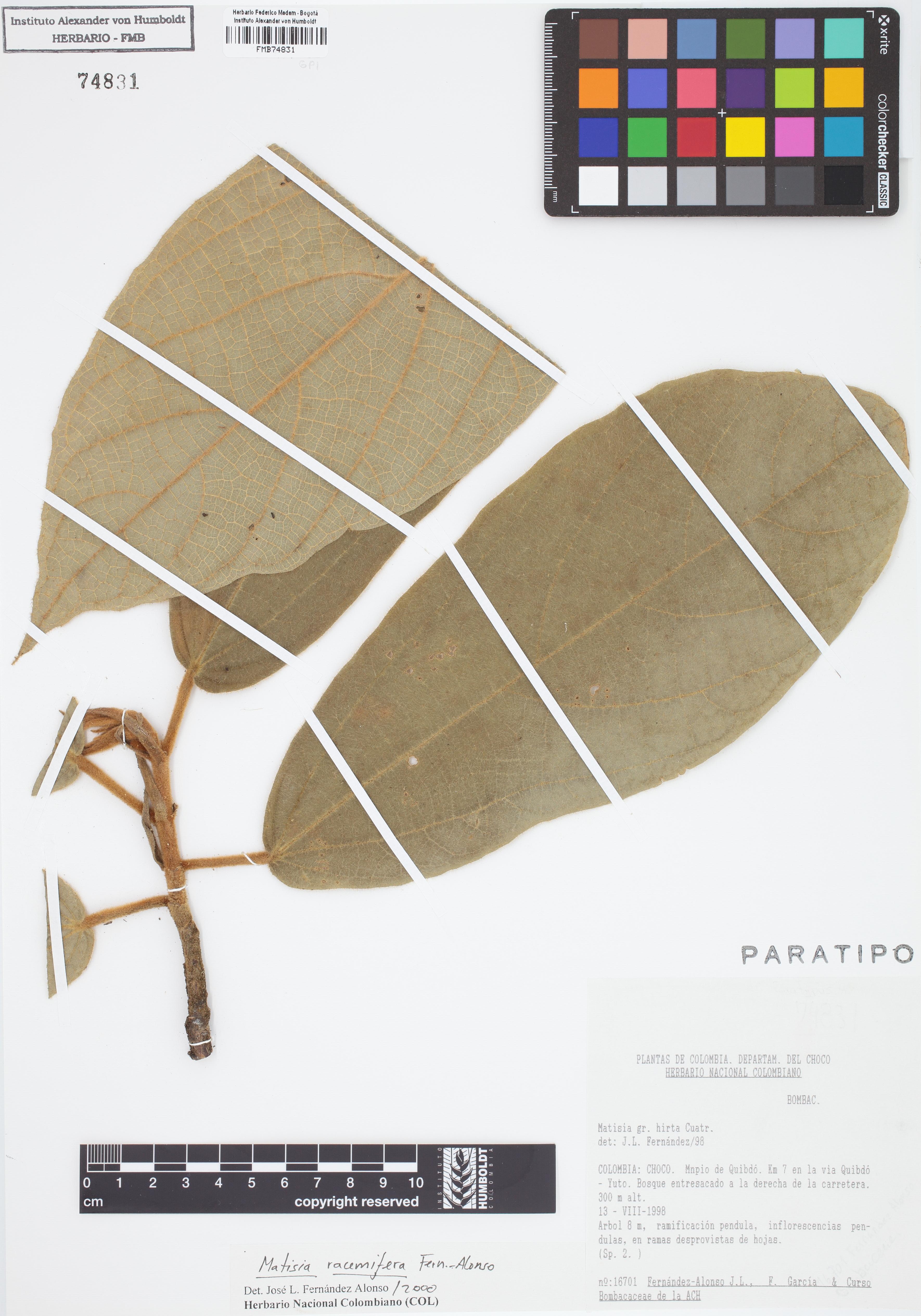 Paratipo de <em>Matisia racemifera</em>, FMB-74831, Fotografía por Robles A.