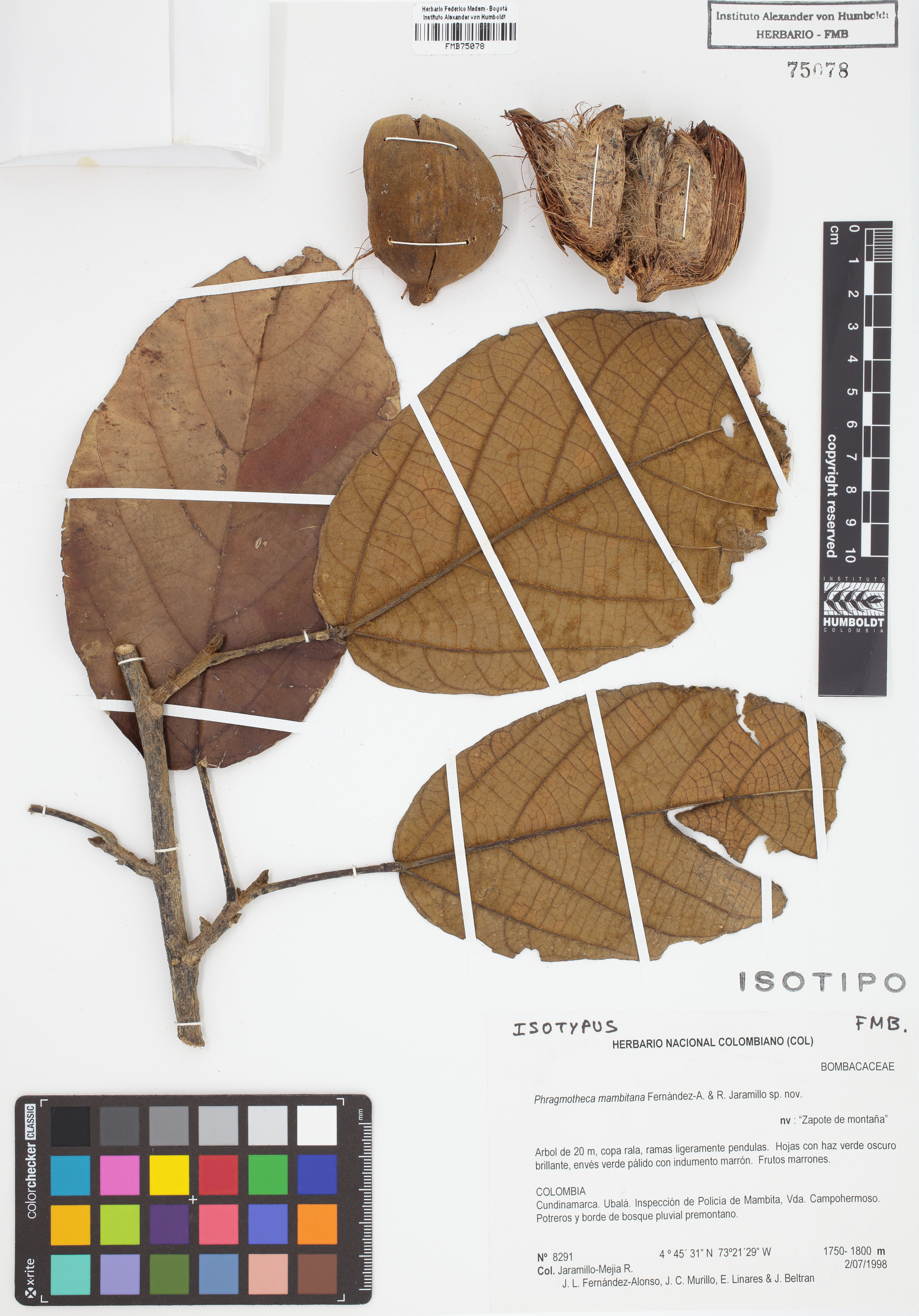 Isotipo de <em>Phragmotheca mambitana</em>, FMB-75078, Fotografía por Robles A.