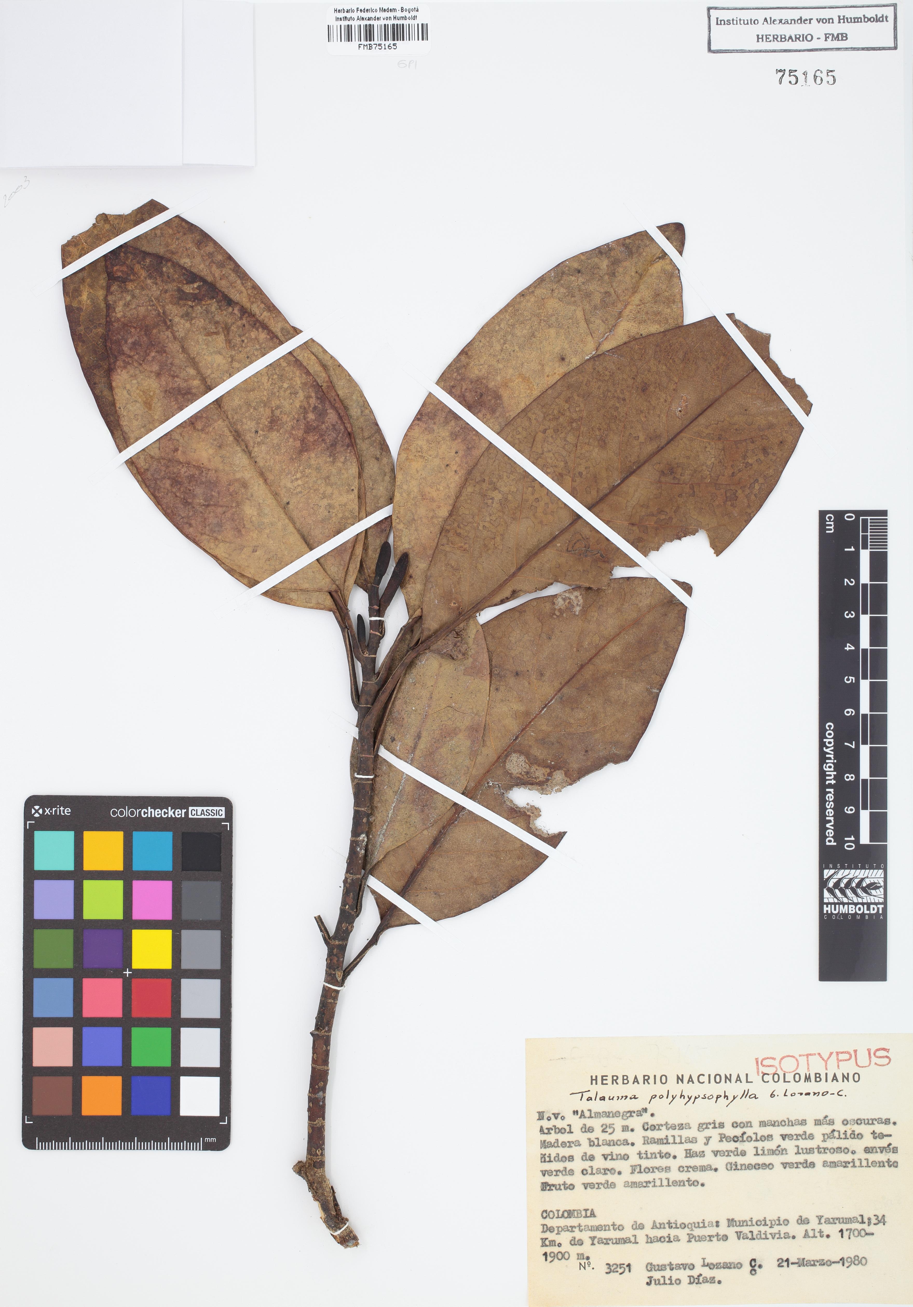 Isotipo de <em>Talauma polyhypsophylla</em>, FMB-75165, Fotografía por Robles A.