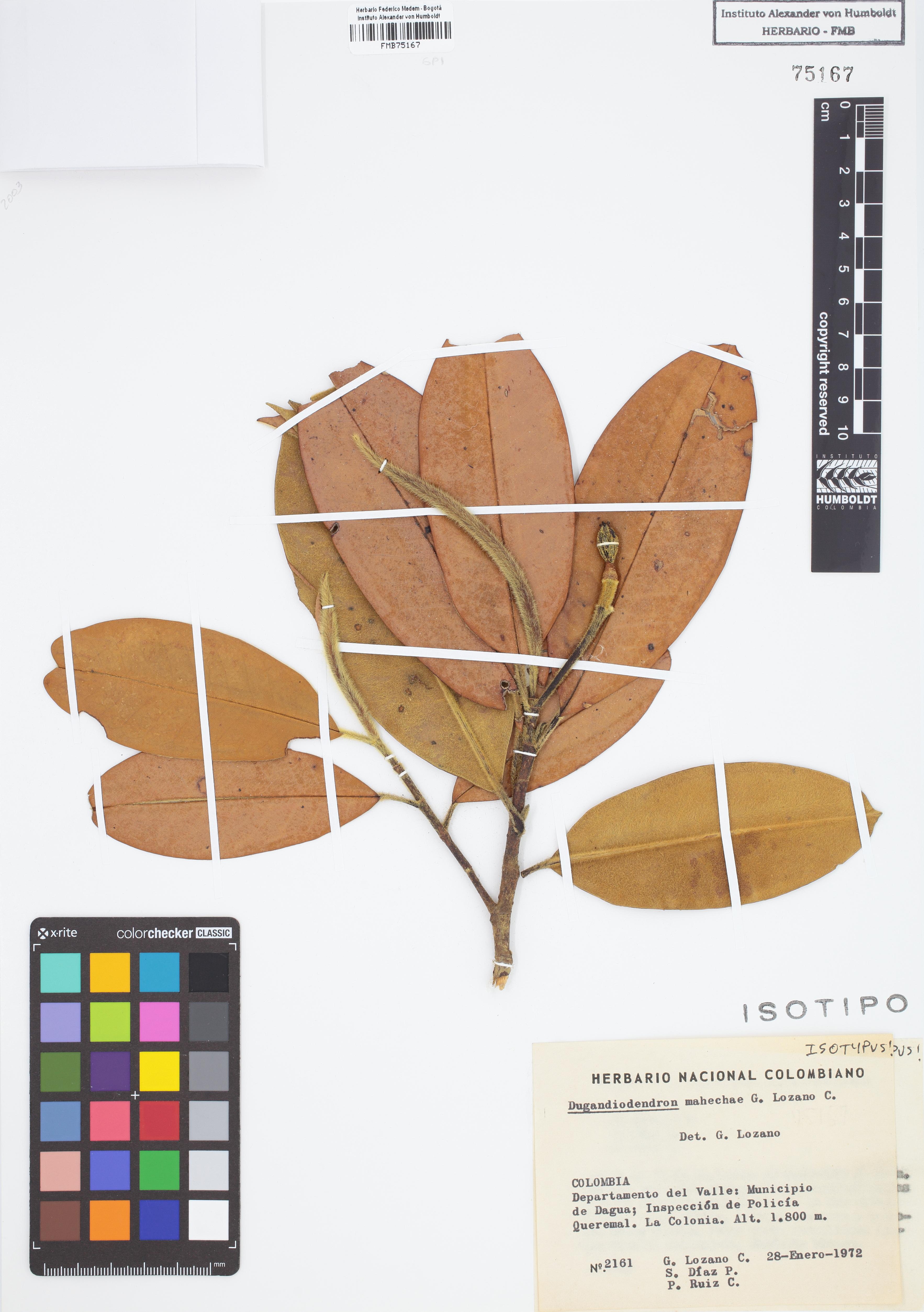 Isotipo de <em>Dugandiodendron mahechae</em>, FMB-75167, Fotografía por Robles A.