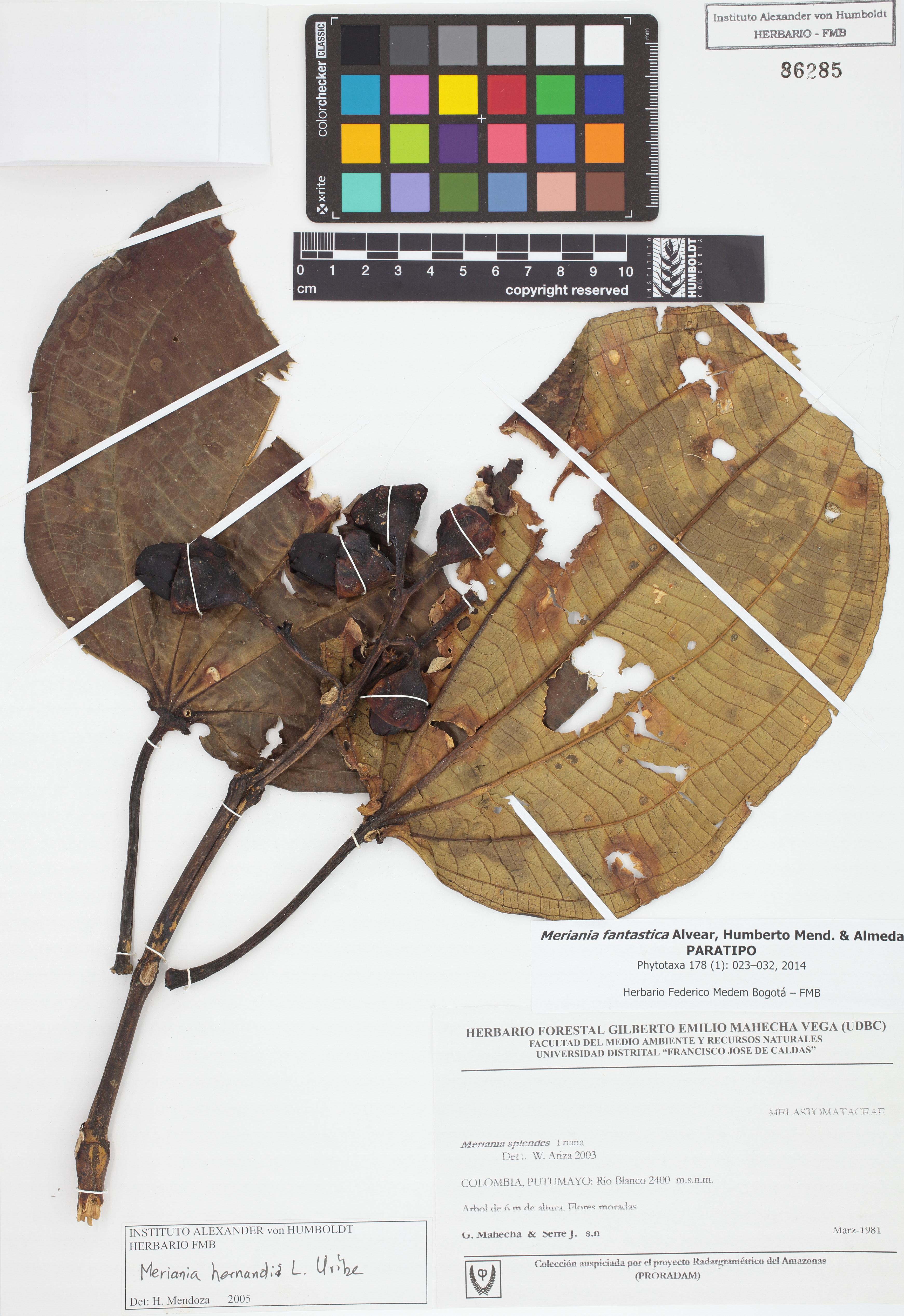Paratipo de <em>Meriania fantastica</em>, FMB-86285, Fotografía por Robles A.