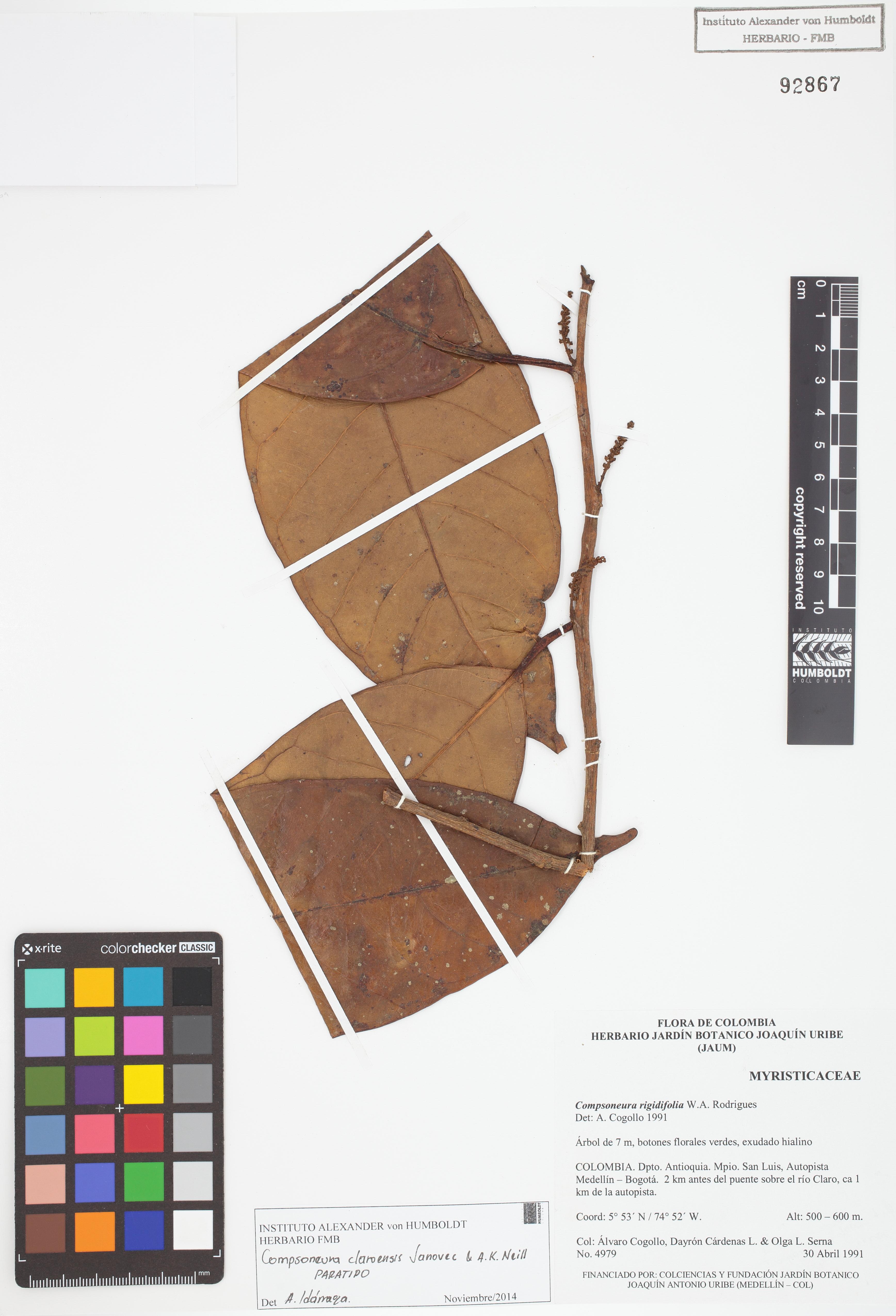 Paratipo de <em>Compsoneura claroensis</em>, FMB-92867, Fotografía por Robles A.