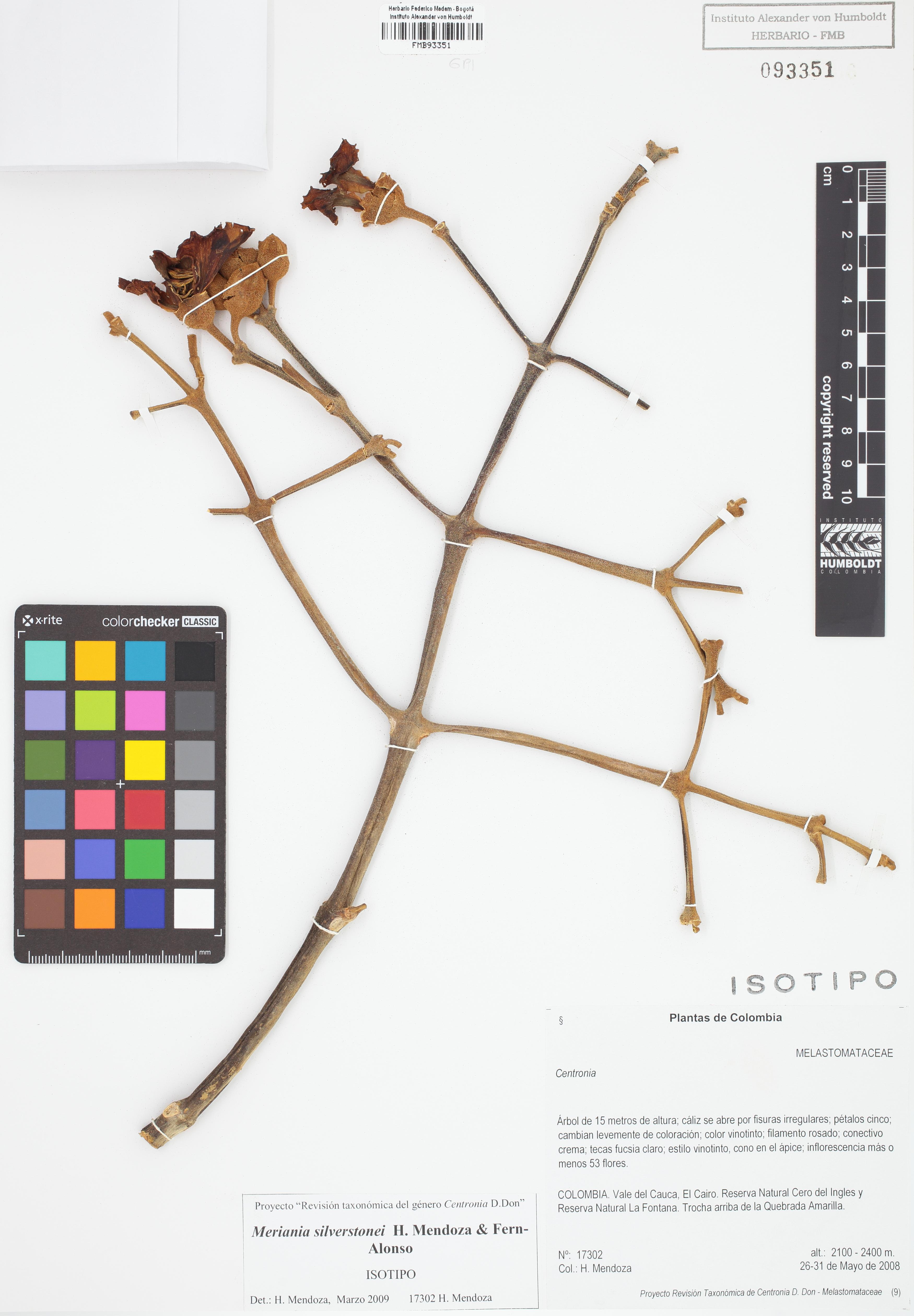 Isotipo de <em>Meriania silverstonei</em>, FMB-93351, Fotografía por Robles A.