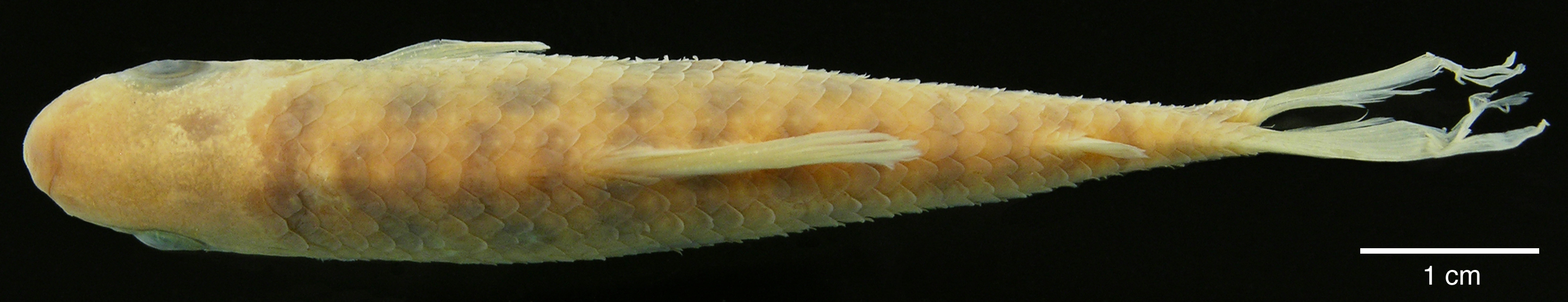 Paratype of <em>Leporinus boehlkei</em>, IAvH-P-10562_Dorsal, 70.2 mm SL (scale bar = 1 cm). Photograph by M. H. Sabaj Pérez