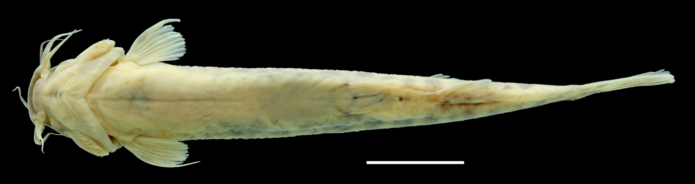 Paratype of <em>Trichomycterus ocanaensis</em>, IAvH-P-11115_Ventral, 57.2 mm SL (scale bar = 1 cm). Photograph by C. DoNascimiento