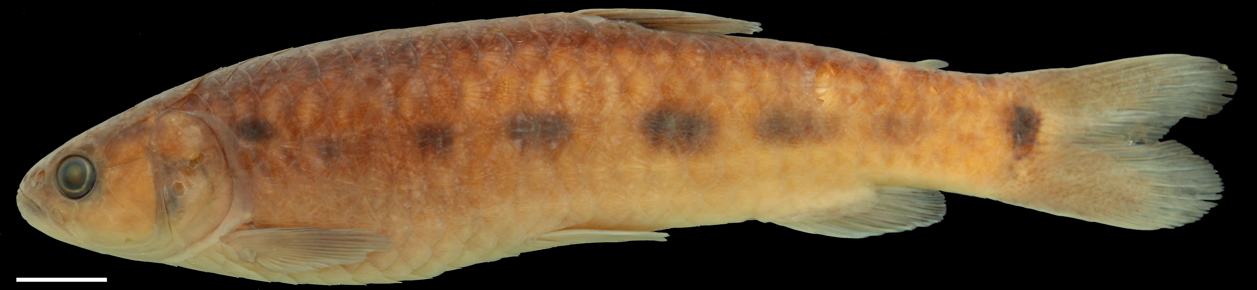 Paratype of <em>Lebiasina chocoensis</em>, IAvH-P-11380_Lateral, 113.2 mm SL (scale bar = 1 cm). Photograph by C. DoNascimiento.