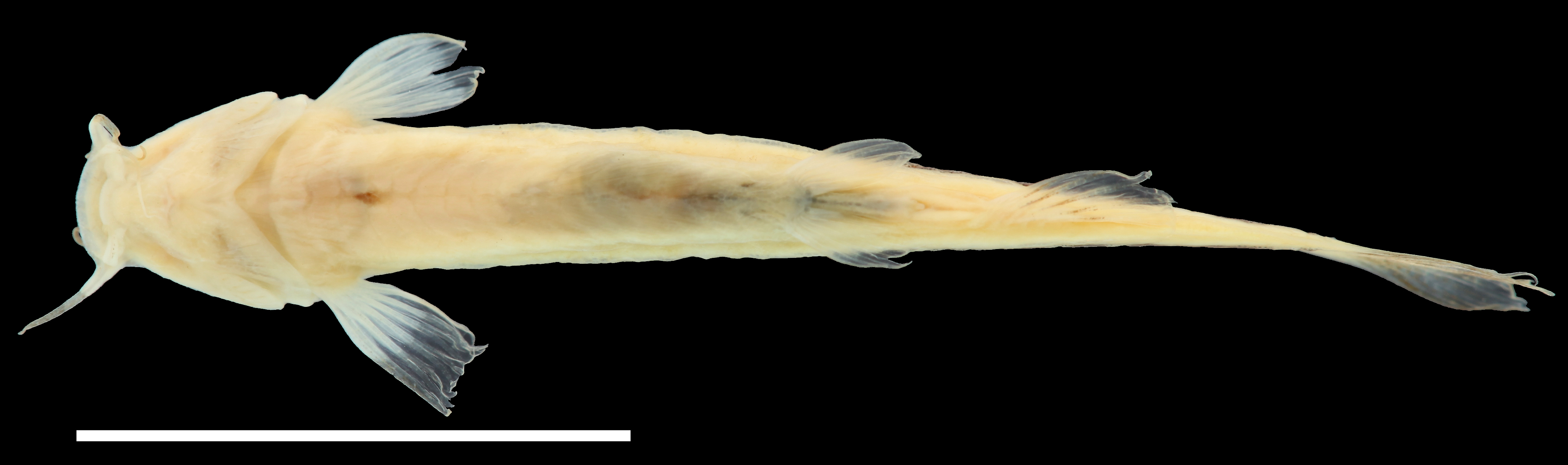 Paratype of <em>Trichomycterus maldonadoi</em>, IAvH-P-11533_Ventral, 22.7 mm SL (scale bar = 1 cm). Photograph by C. DoNascimiento