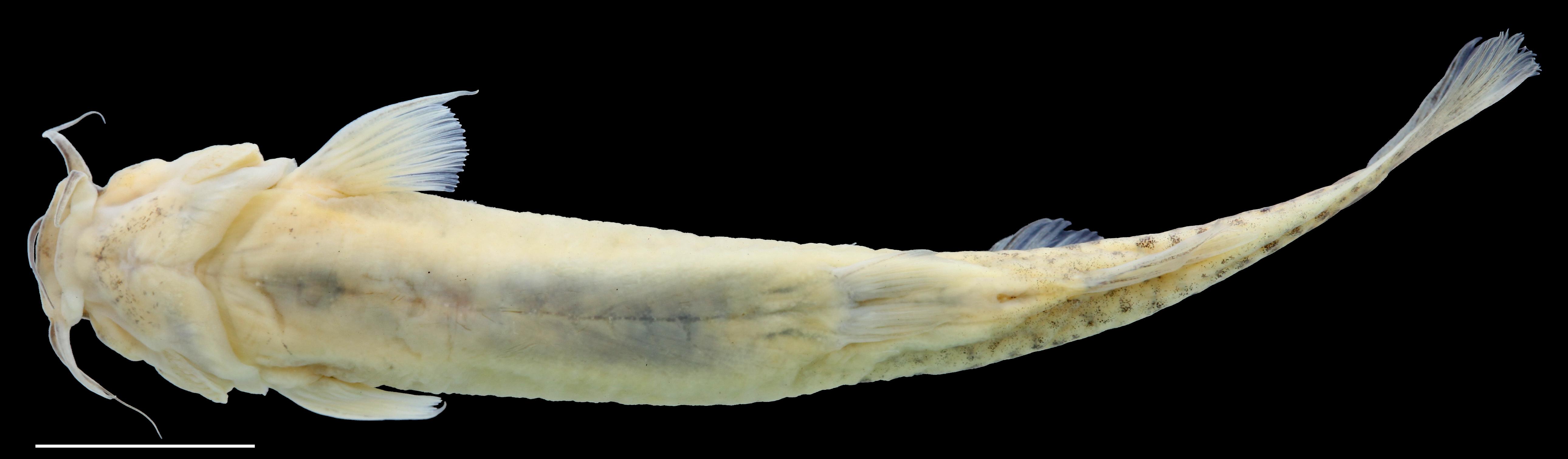 Paratype of <em>Trichomycterus torcoromaensis</em>, IAvH-P-13422_Ventral, 62.2 mm SL (scale bar = 1 cm). Photograph by C. DoNascimiento