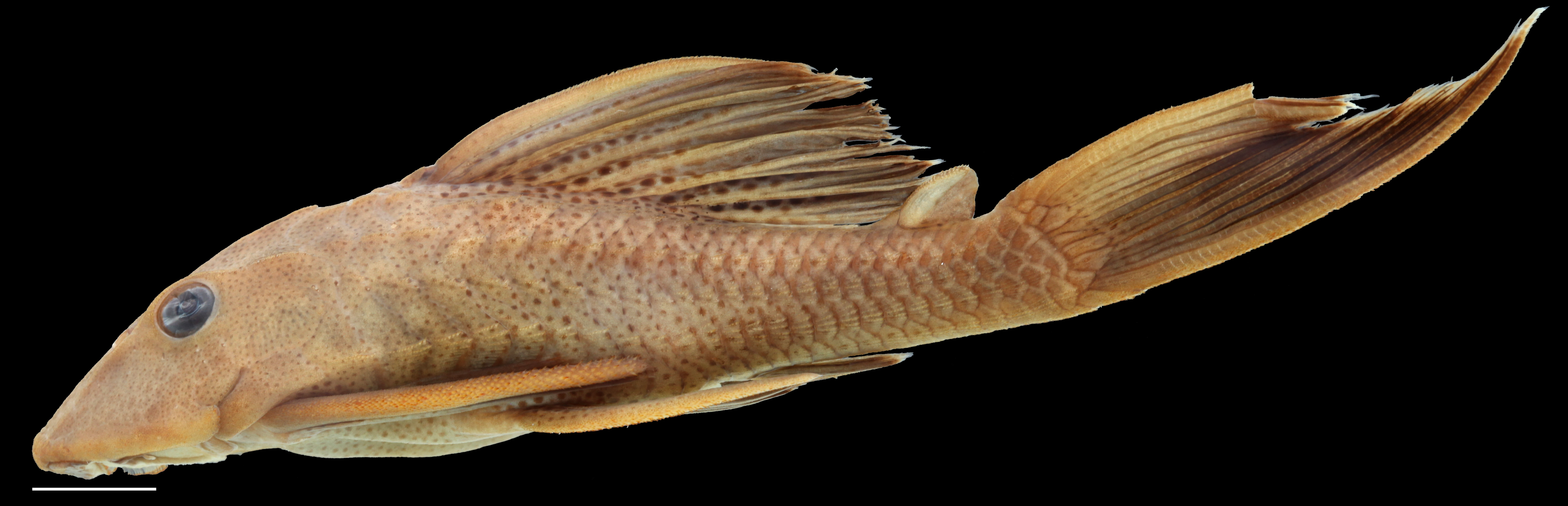 Paratype of <em>Hypostomus rhantos</em> IAvH-P-13958_Lateral, 87.7 mm SL (scale bar = 1 cm). Photograph by C. DoNascimiento