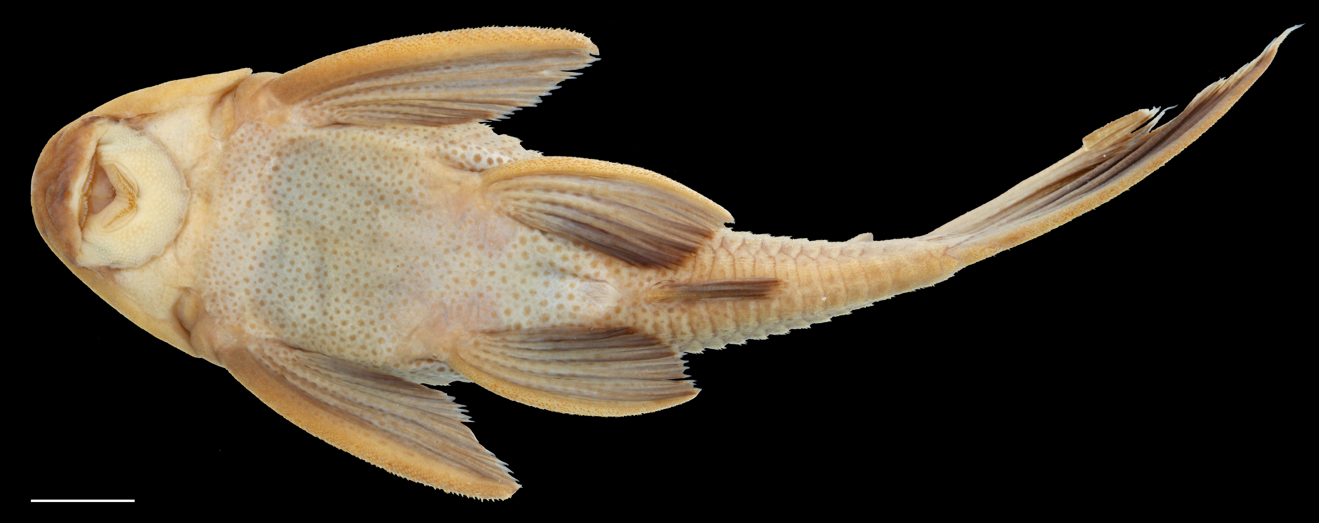 Paratype of <em>Hypostomus rhantos</em>, IAvH-P-13958_Ventral, 87.7 mm SL (scale bar = 1 cm). Photograph by C. DoNascimiento